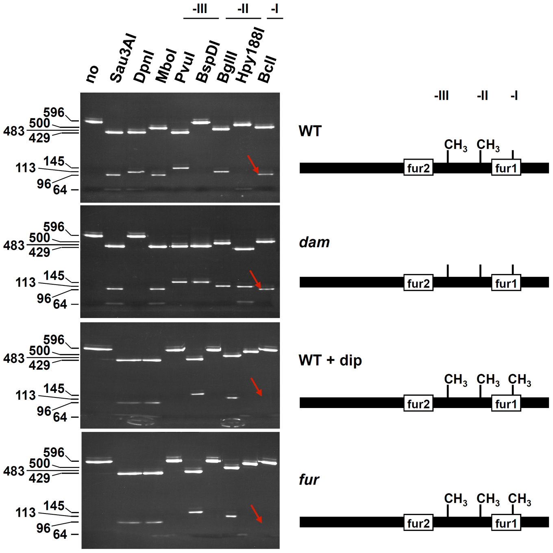Fur protects GATC-I from methylation <i>in vivo</i>.