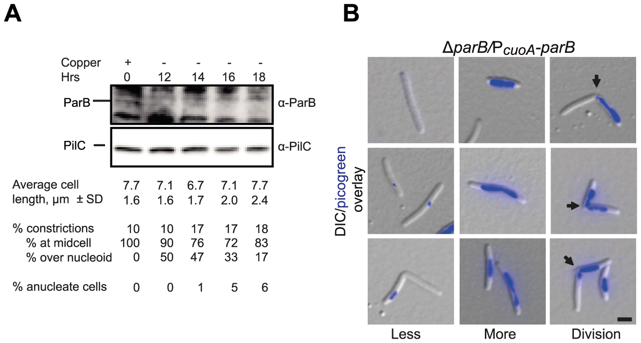 ParB is essential in <i>M. xanthus</i>.