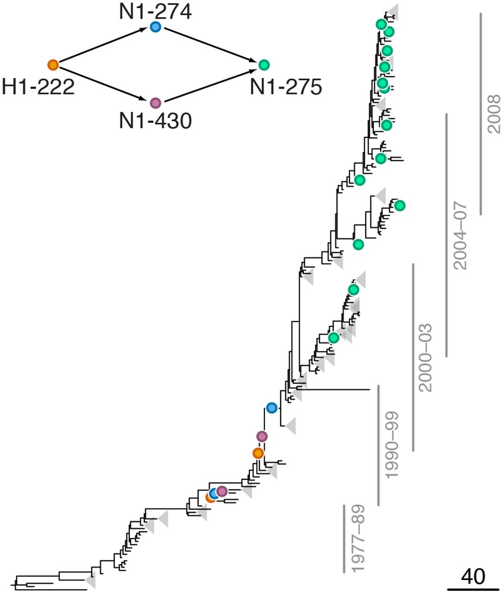 Example of putative inter-gene epistasis between sites H1-222 and N1-274.