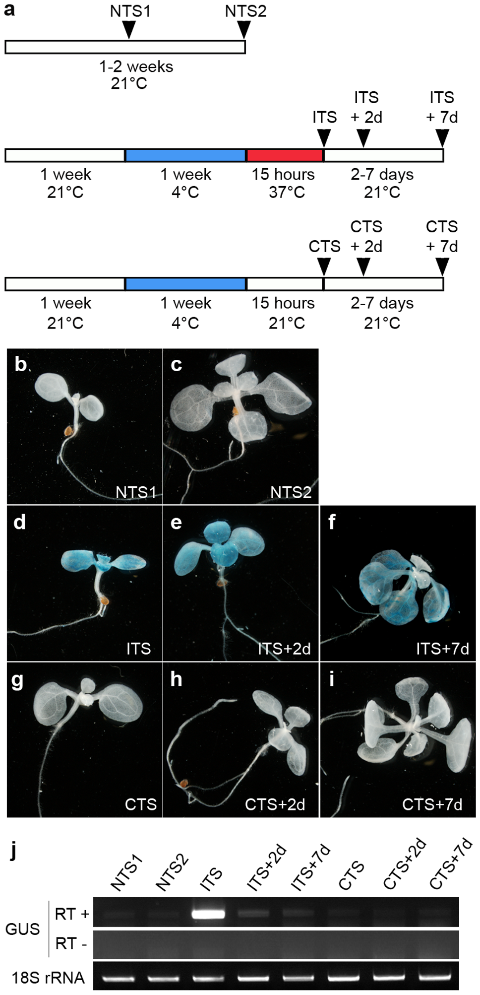 The ITS-induced release of transcriptional silencing is transient.