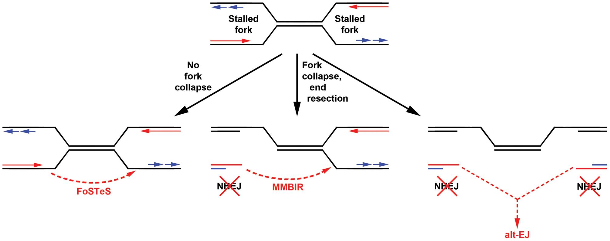 Models for replication-dependent, Xrcc4-independent CNV formation.