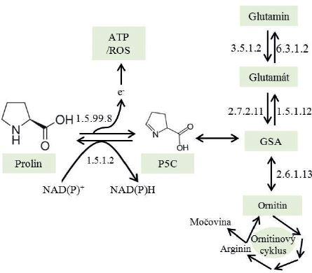 Metabolická dráha oxidace prolinu na glutamát a jeho další konverze na glutamin (převzato z Natarajan et al. a volně přepracováno) P5C – 1-pyrolin 5-karboxylát; 1.5.99.8 – prolin dehydrogenáza/oxidáza; 1.5.1.2 – P5C reduktáza; GSA – glutamyl- gama-semialdehyd; 2.7.2.11 – P5C syntáza; 1.5.1.12 – P5C dehydrogenáza; 3.5.1.2 – glutamináza; 6.3.1.2 – glutamin syntáza; 2.6.1.13 – orninit aminotransferáza