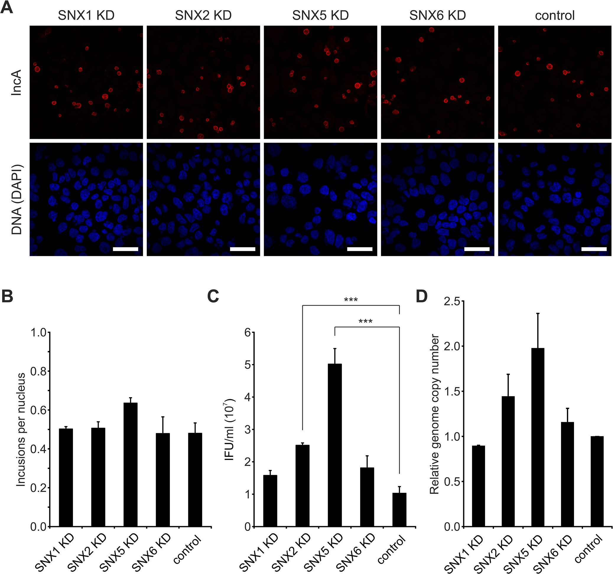 Silencing of SNX5 promotes <i>C</i>. <i>trachomatis</i> infectious progeny formation.