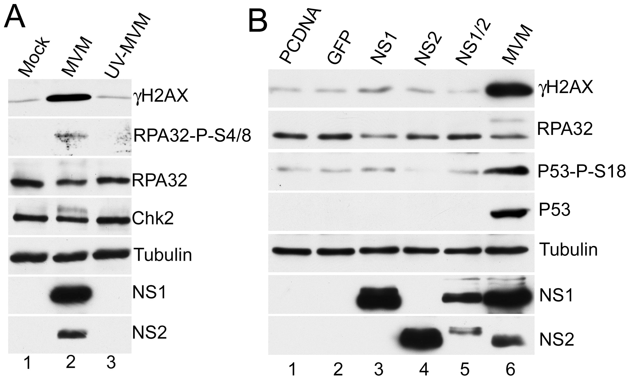 MVM-induced DDR requires viral replication.