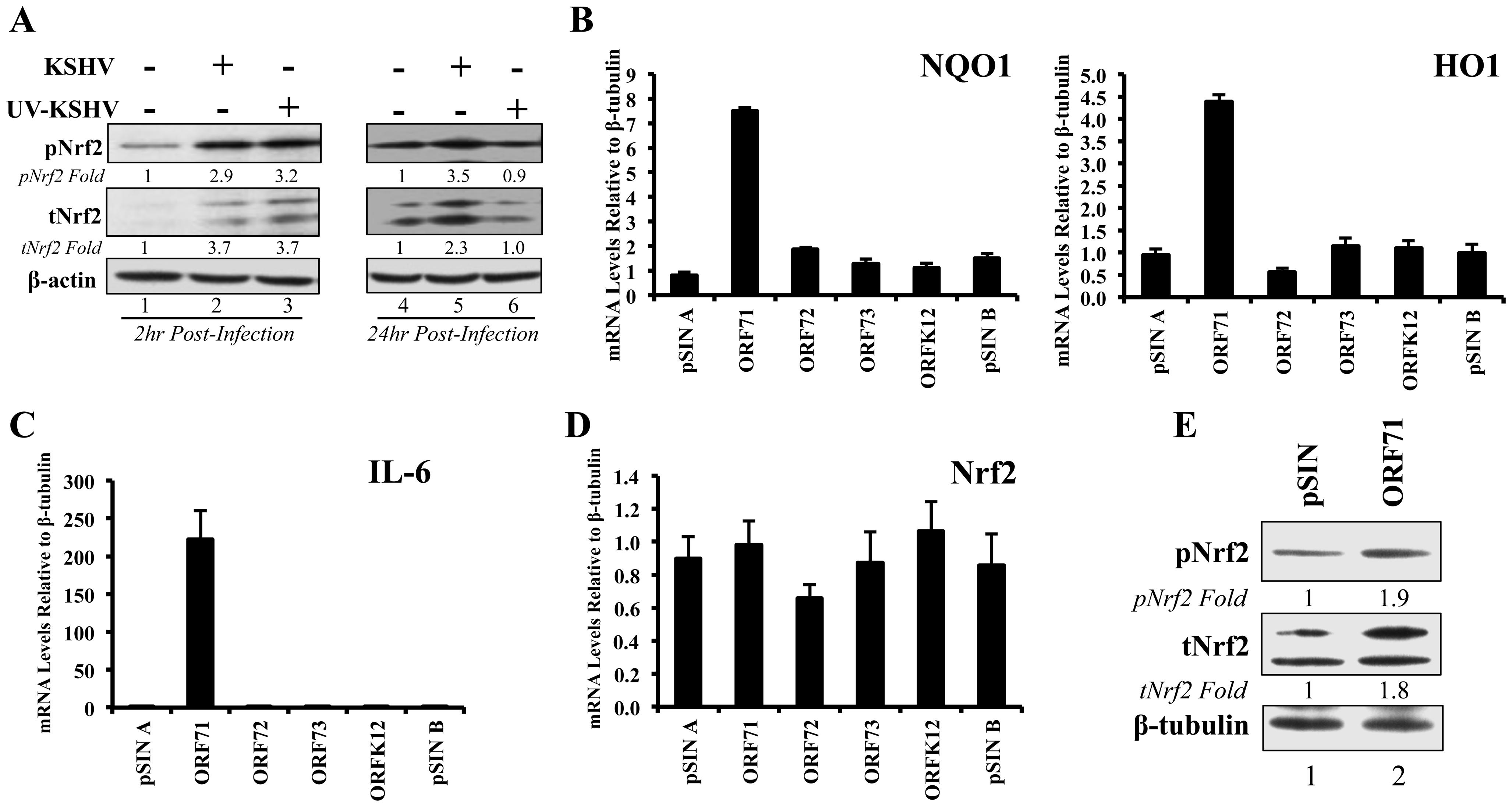 Nrf2 induction during UV-KSHV infection and during latent KSHV gene vFLIP overexpression.