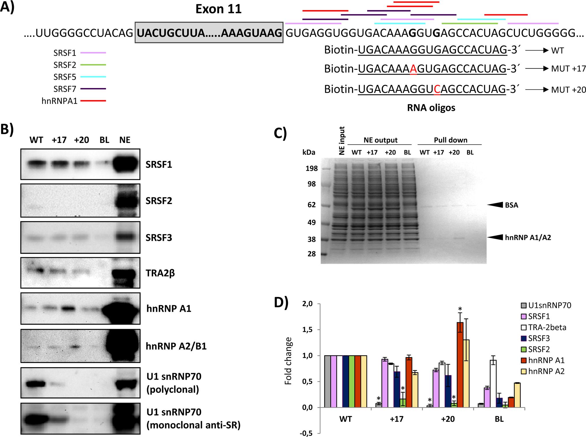 RNA oligonucleotide affinity studies.