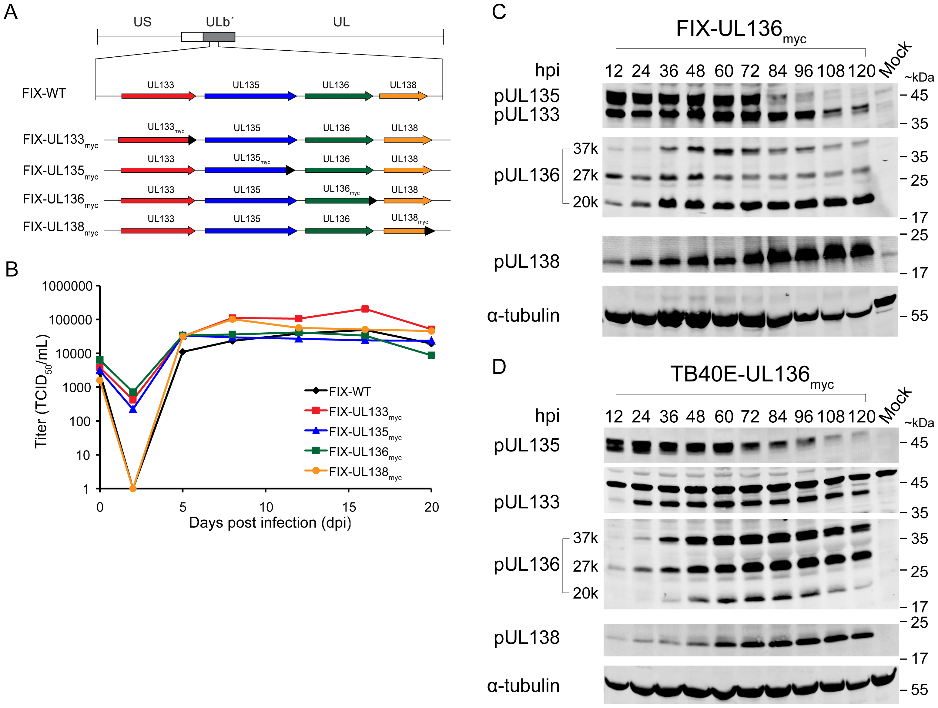 Construction and characterization of recombinant viruses expressing myc tagged ORFs.