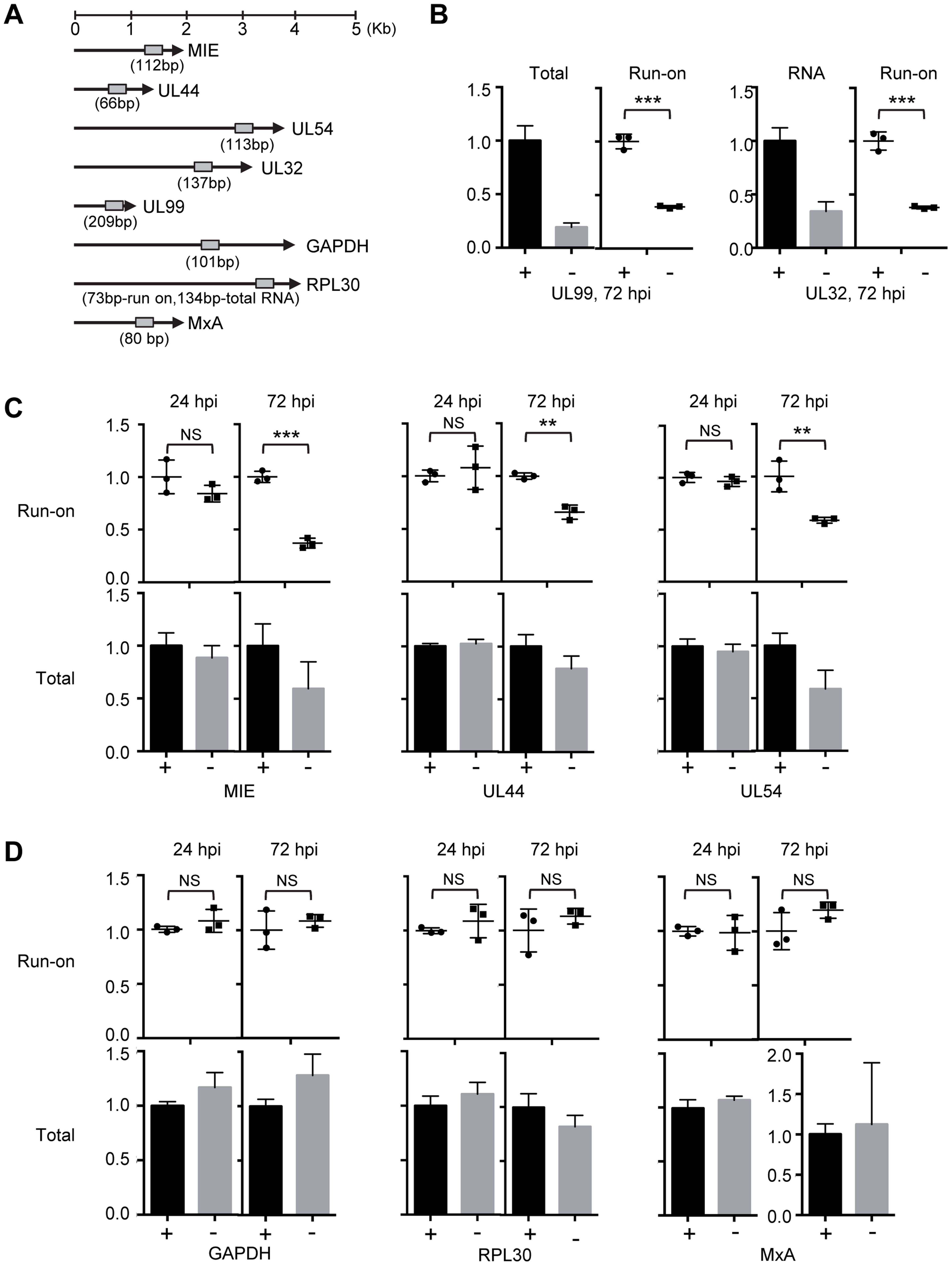 pUL79 alters the rate of transcriptional elongation at viral loci.