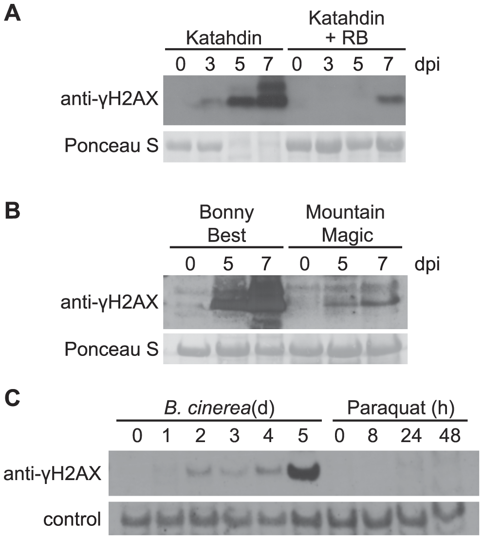 Accumulation of γ-H2AX induced by oomycete and fungal pathogens but not paraquat.