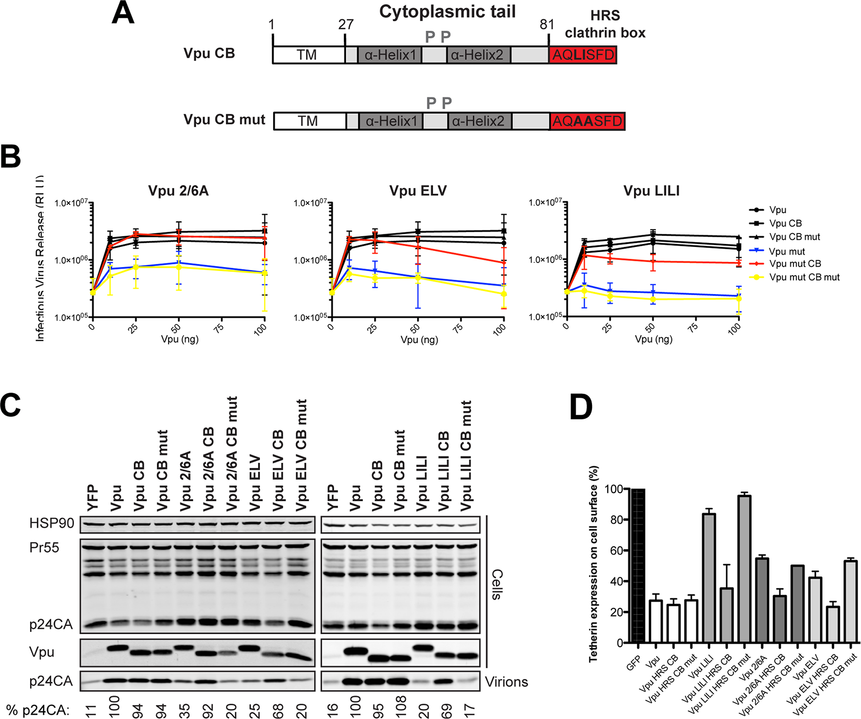 Functional rescue of Vpu phospho- and trafficking mutants by direct interaction with clathrin.