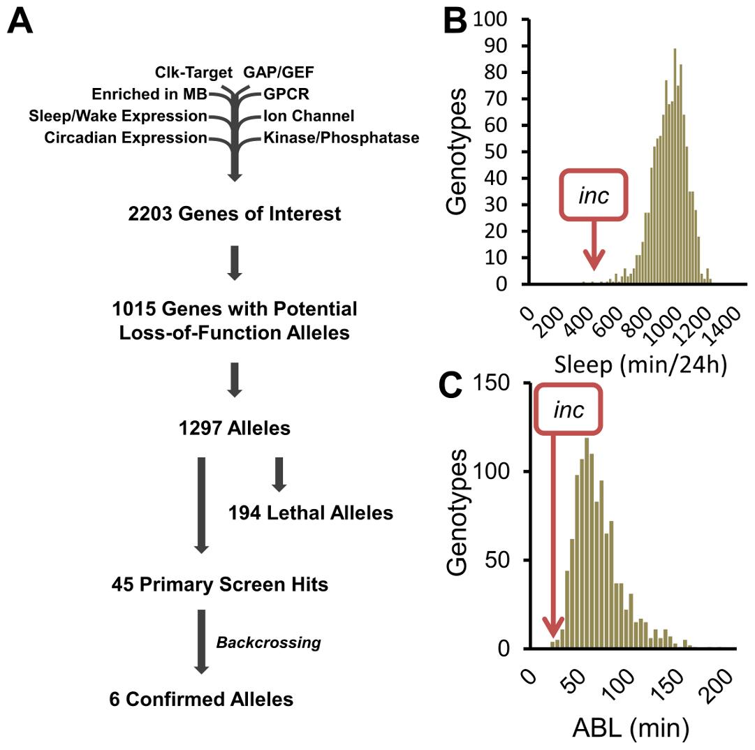 A reverse-genetics screen identifies novel sleep genes.