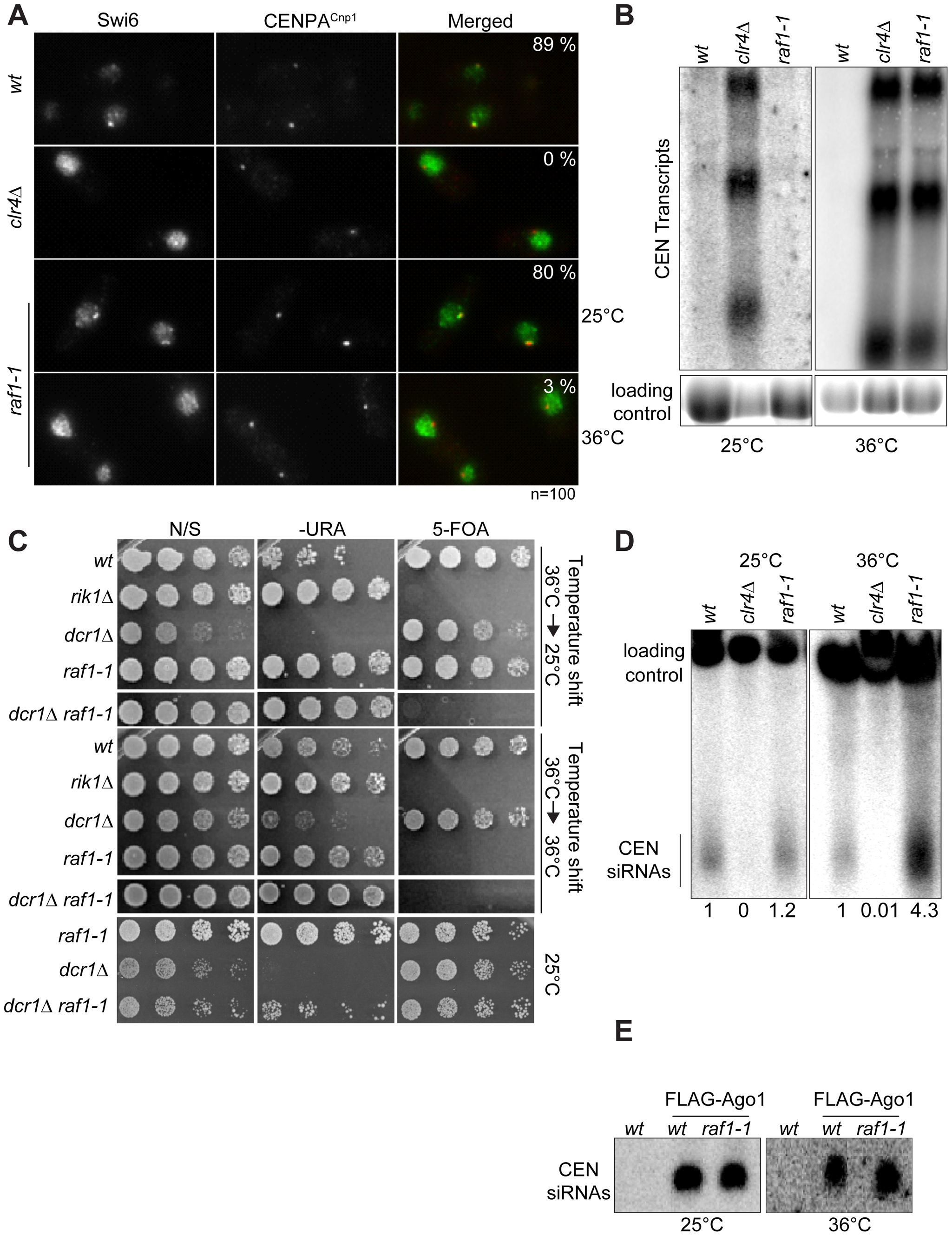 Heterochromatin, but not siRNA production, is erased in <i>raf1-1</i> cells.