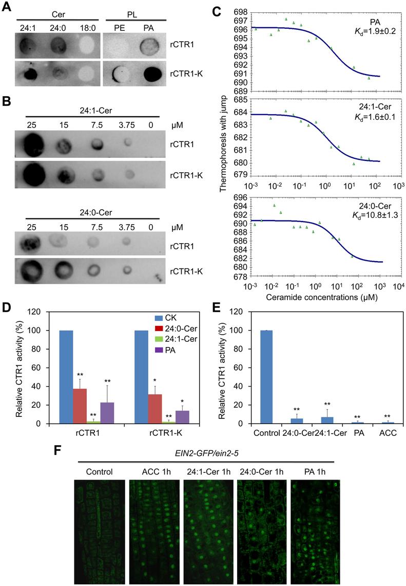 Ceramides interact with the kinase domain of CTR1 protein <i>in vitro</i>.