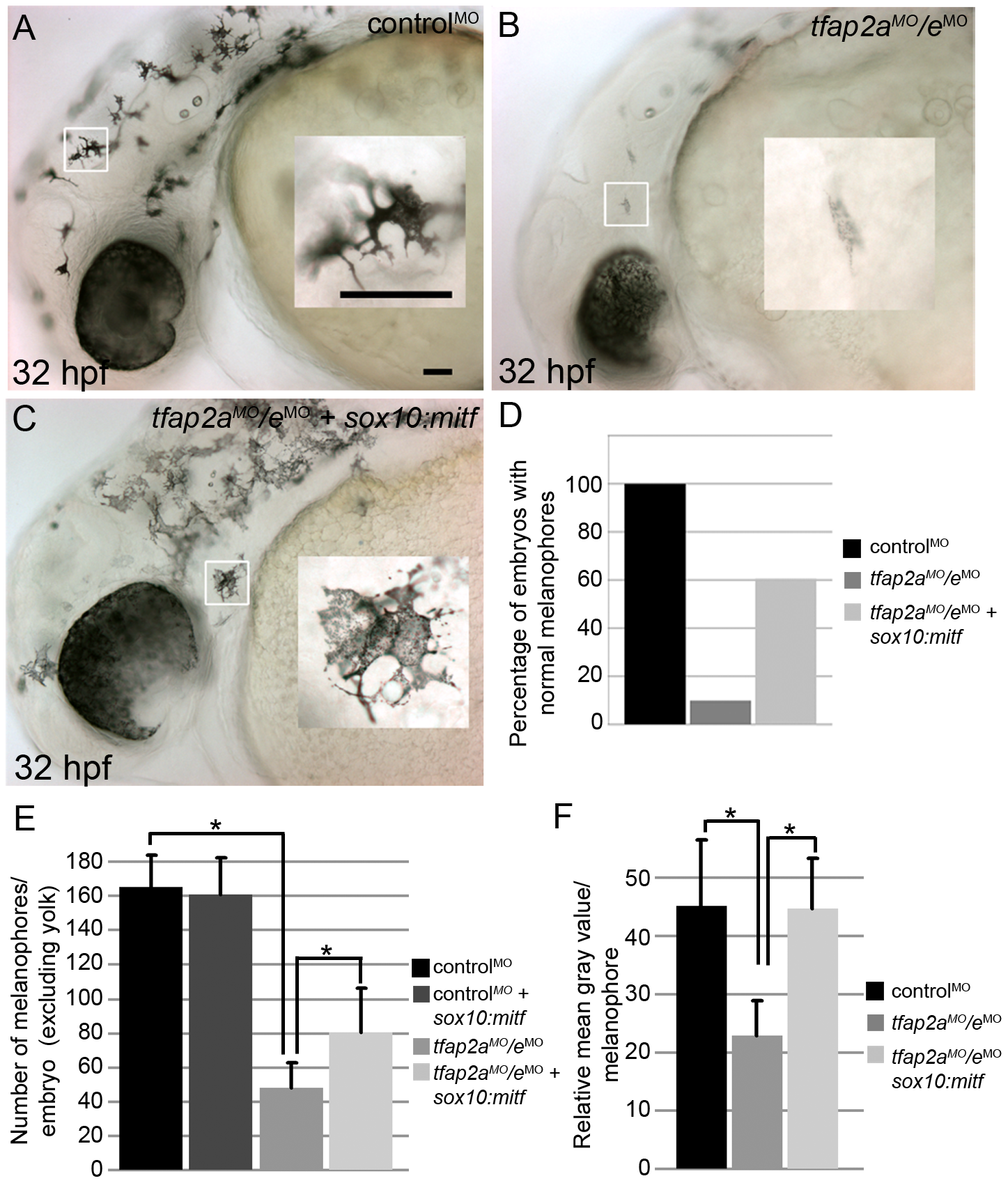 Melanophore differentiation in <i>tfap2a/e</i> doubly-deficient embryos is partially restored by forced expression of <i>mitfa</i>.