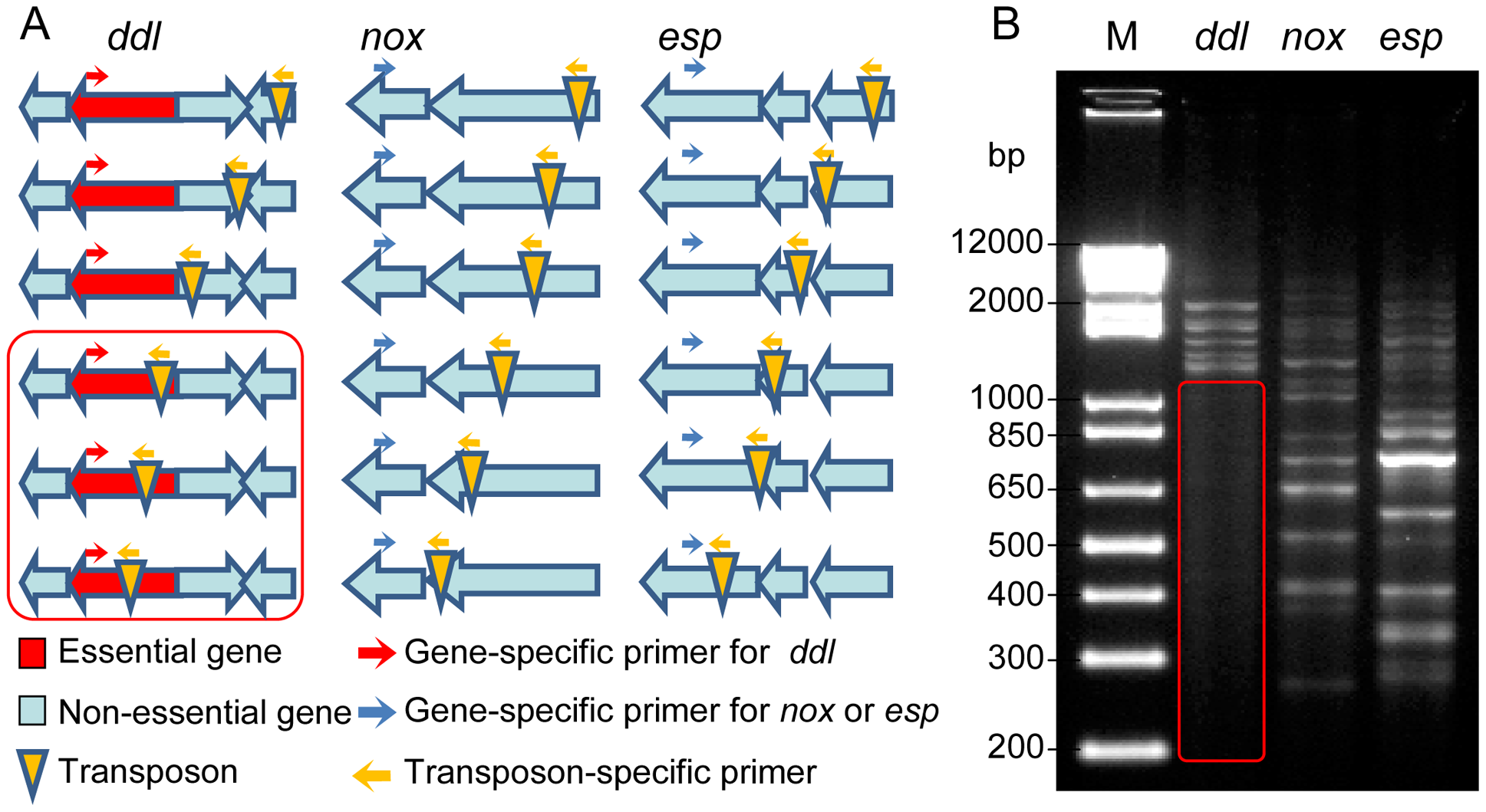 Footprinting analysis of the transposon mutant library.