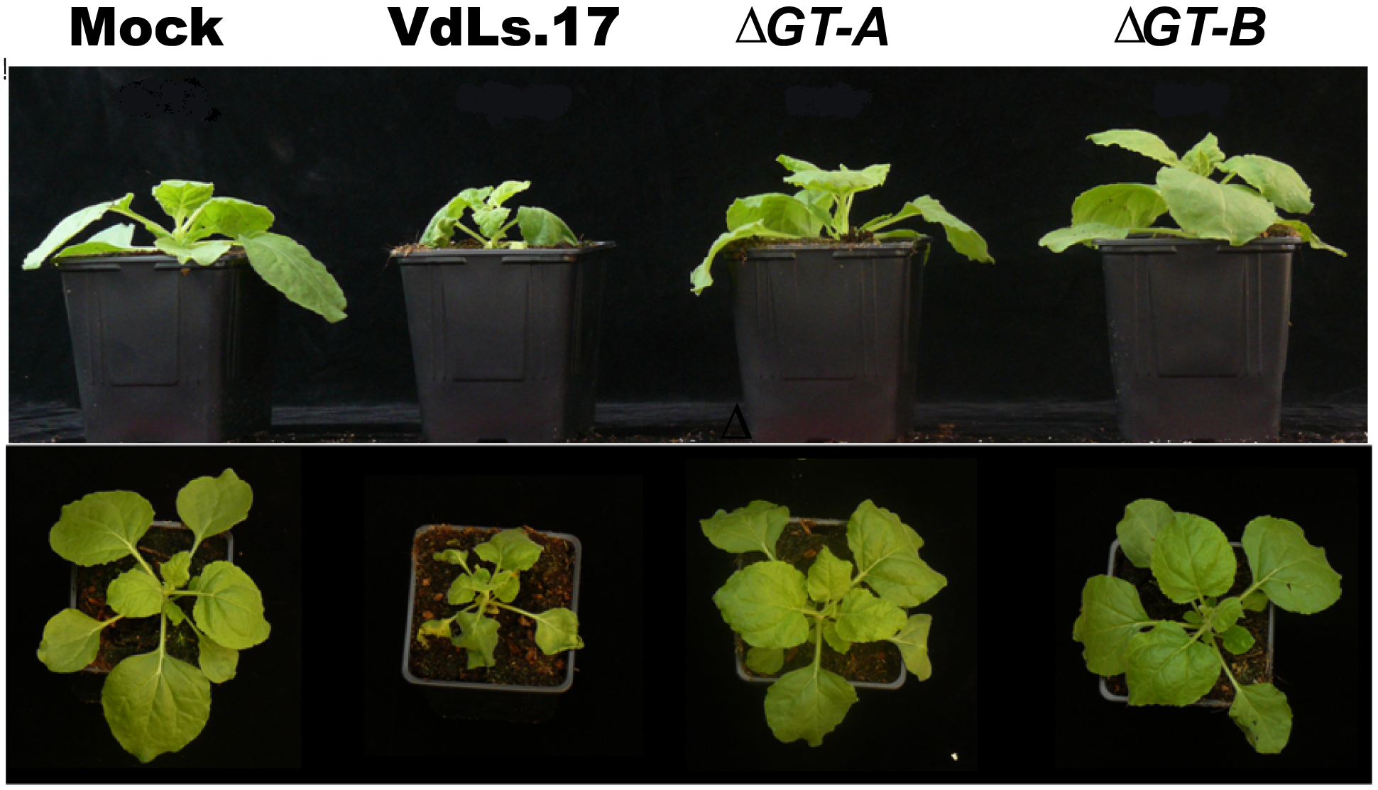 Targeted knock-out of the putative glucan glucosyltransferase in <i>Verticillium dahliae</i>, strain VdLs.17, results in reduced fungal virulence on <i>Nicotiana benthamiana</i>.