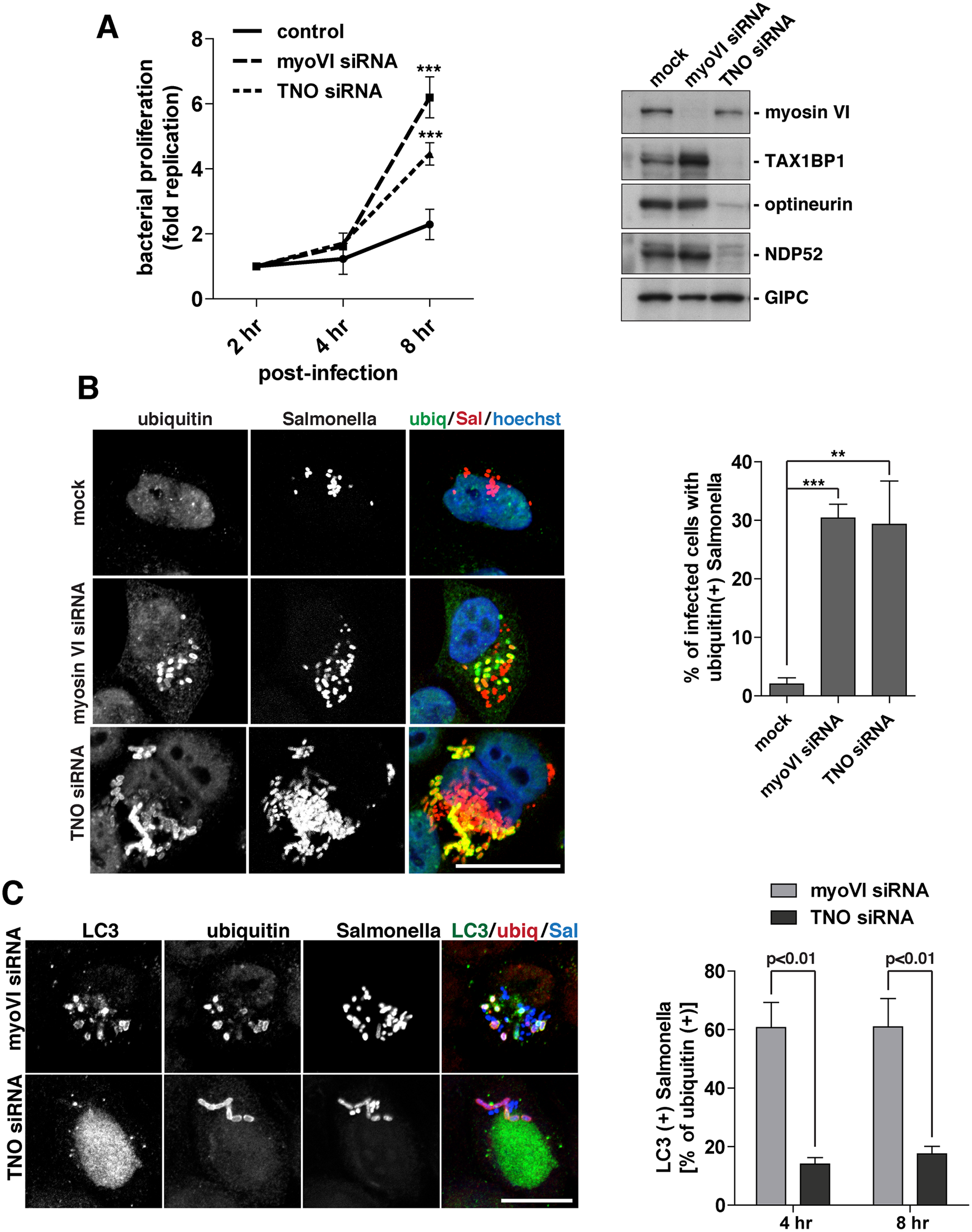 Suppression of myosin VI expression leads to a hyper-proliferation of Salmonella and an accumulation of ubiquitylated Salmonella within LC3-positive autophagosomes.