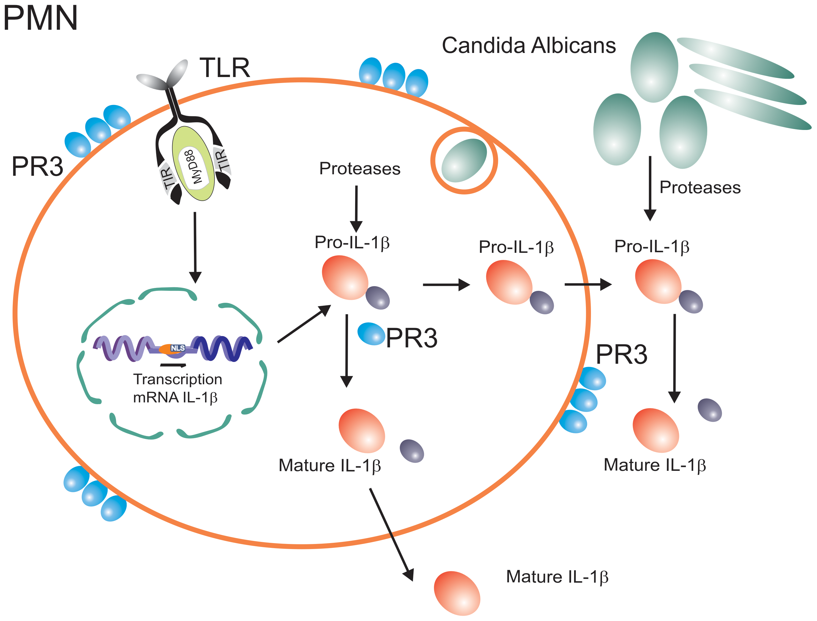 Inflammasome-independent processing of pro-IL-1β.