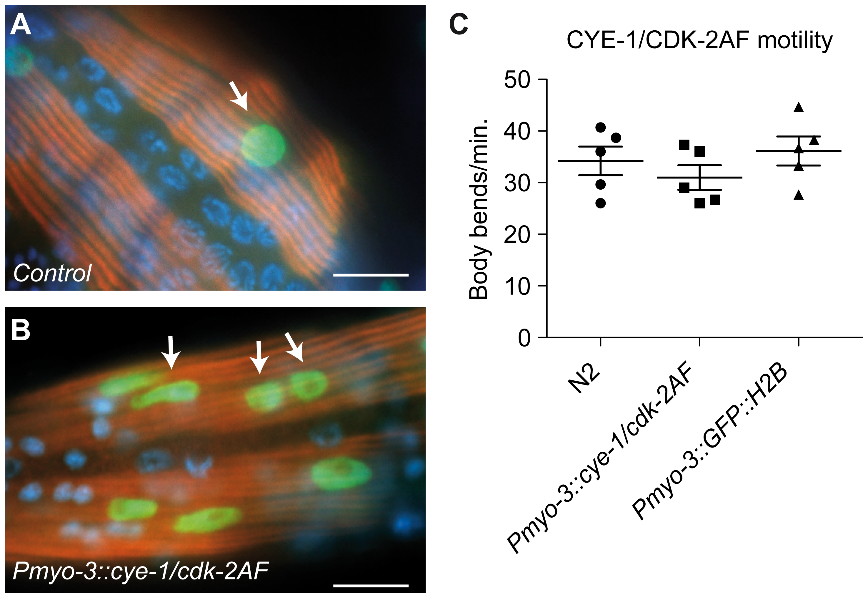 Animals with mitotic body-wall muscle retain normal motility and muscle structure.