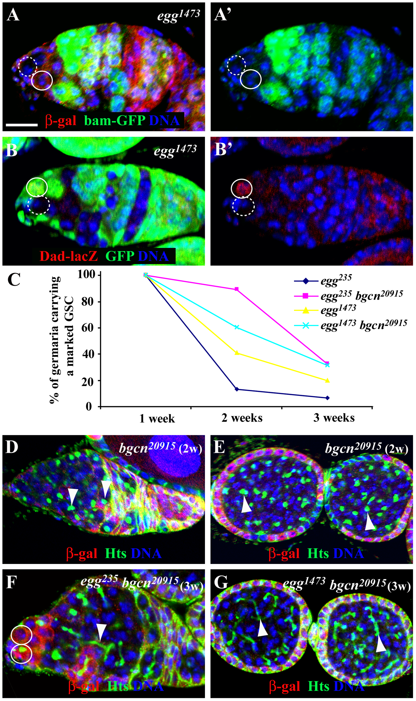 <i>egg</i> is required intrinsically for maintaining GSCs by repressing a Bam/Bgcn-independent differentiation pathway.