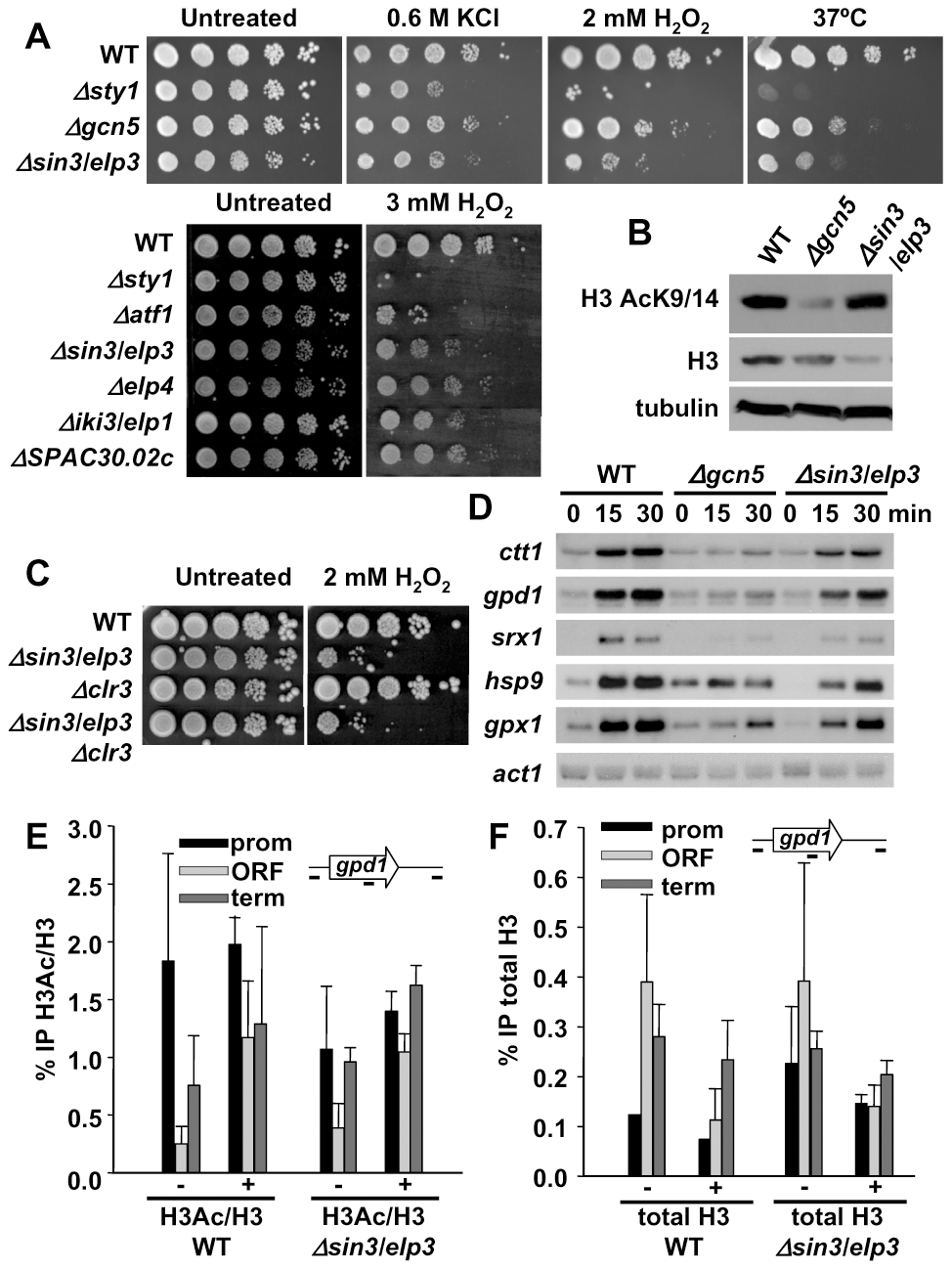 Cells lacking Sin3/Elp3 are sensitive to H<sub>2</sub>O<sub>2</sub>, but do not display major transcriptional defects.