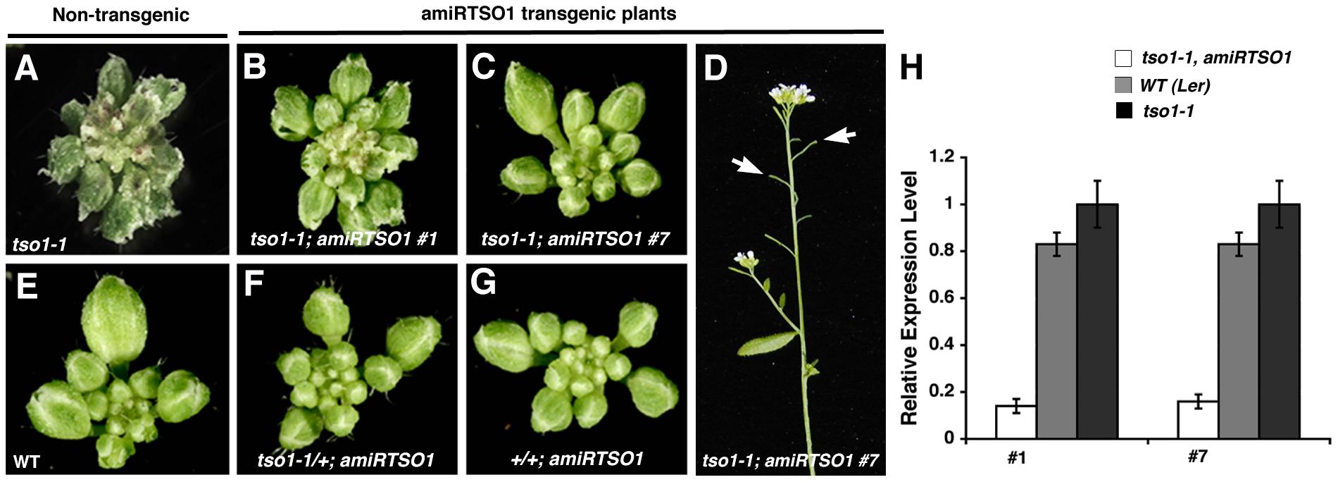 Artificial microRNA knockdown of <i>tso1-1</i> transcripts suppresses <i>tso1-1</i> phenotype.