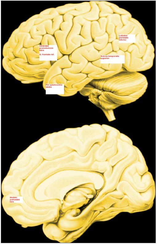 Systém zrcadlových neuronů Ventrální premotorická kůra, kůra g. frontalis inferior a pars rostralis inf. lobuli parietalis inferioris jsou klíčové složky lidského systému zrcadlových neuronů. Mediální prefrontální kůra, oblast sulcus temporalis superior a kůra temporálního pólu se aktivuje v průběhu mentalizace
