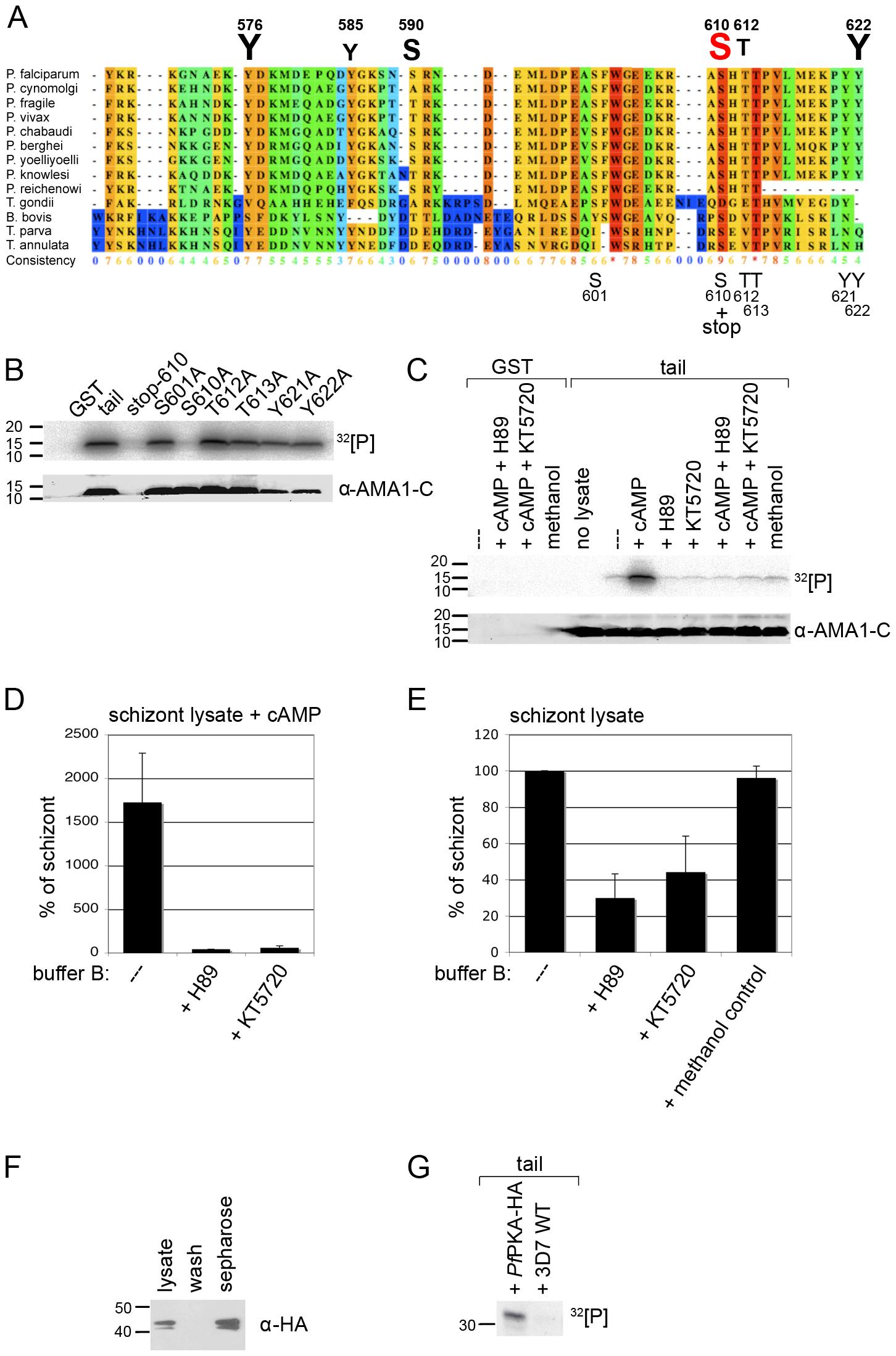 <i>Pf</i>PKA phosphorylates the AMA1 tail exclusively on residue S610.
