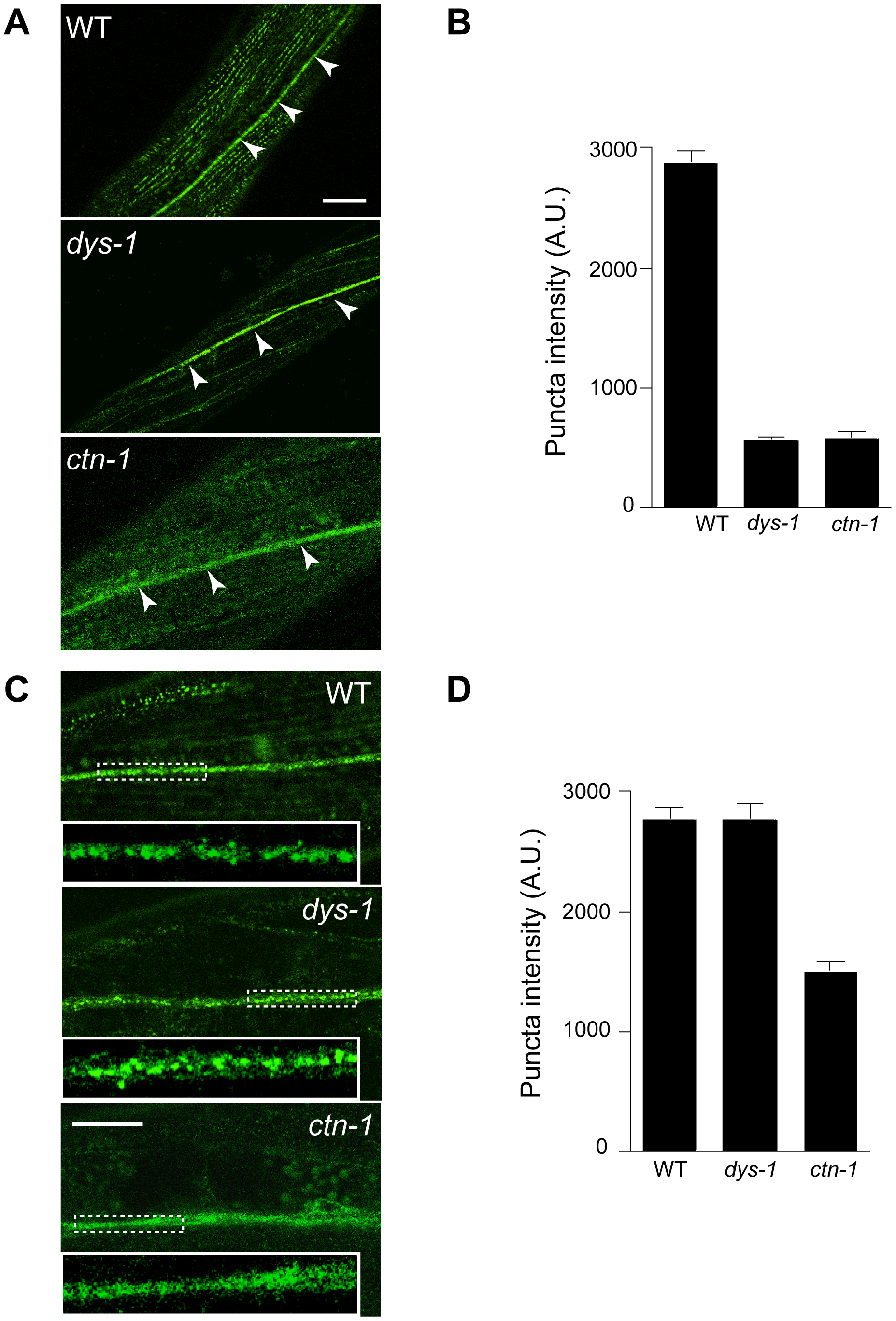 <i>ctn-1</i> mutation impairs normal localization of SLO-1 in muscles and neurons.