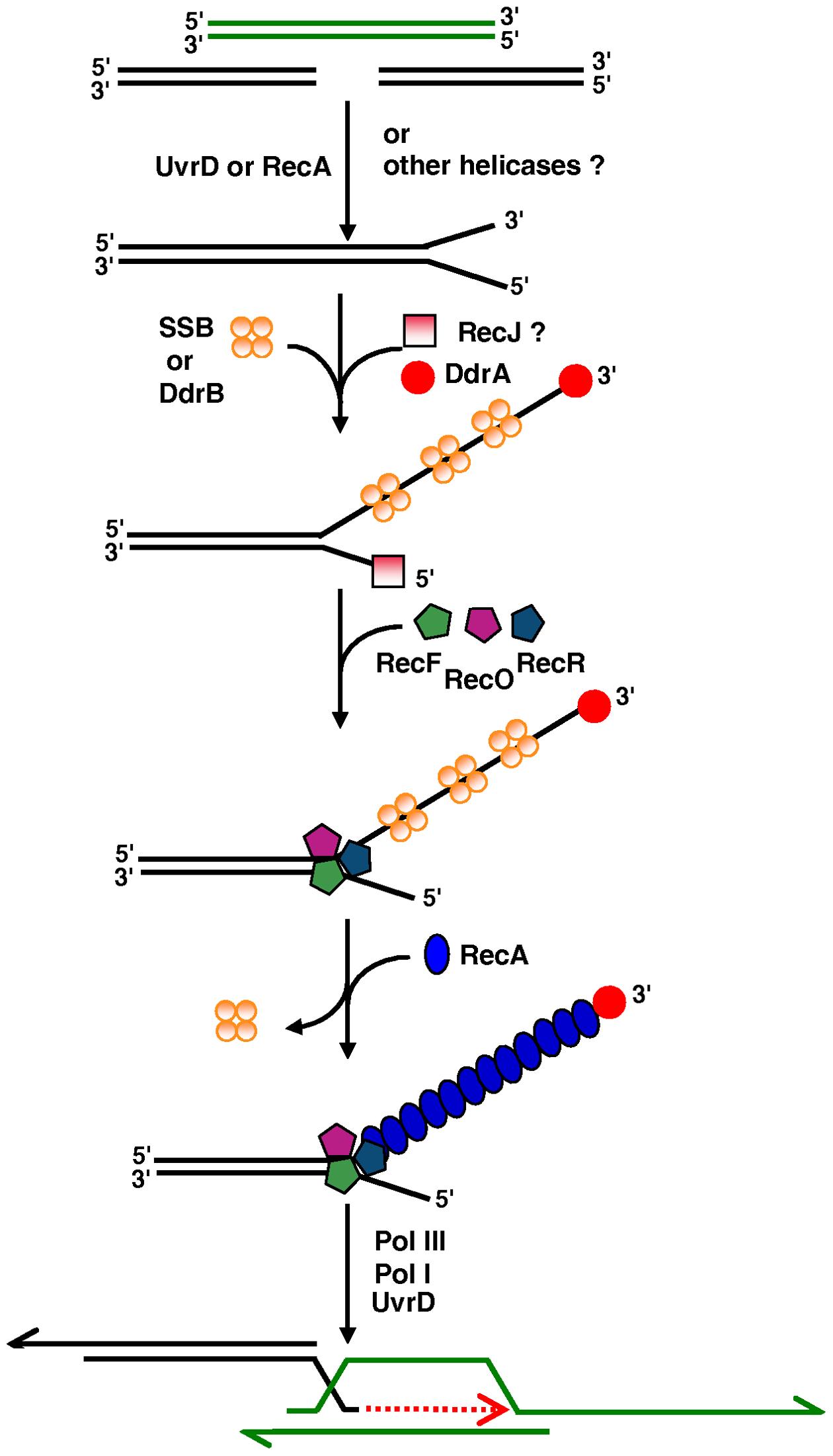 Model of initiation of DNA double-strand-break repair through ESDSA in <i>D. radiodurans</i>.