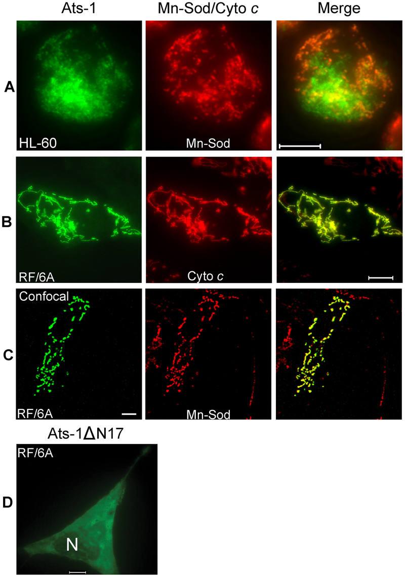 Mitochondrial targeting of Ats-1, and essential role of N-terminal sequence in targeting.