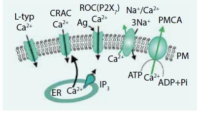 Schéma. Základné mechanizmy prenosu vápnika cez plazmatickú membránu neexcitabilných buniek [47]