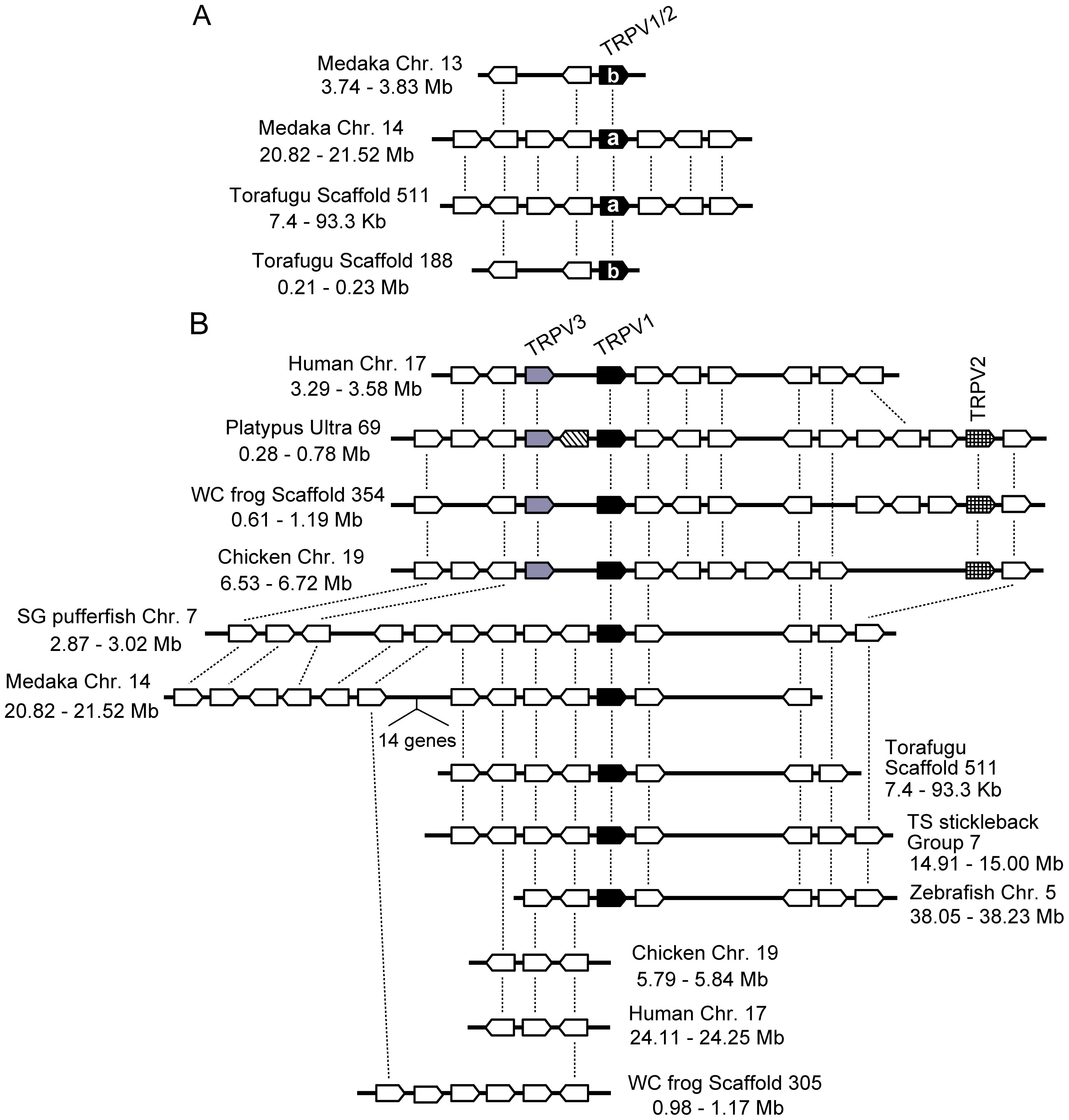 Conserved gene arrangements in the genomic regions encompassing vertebrate <i>TRPV1-TRPV3</i> genes.
