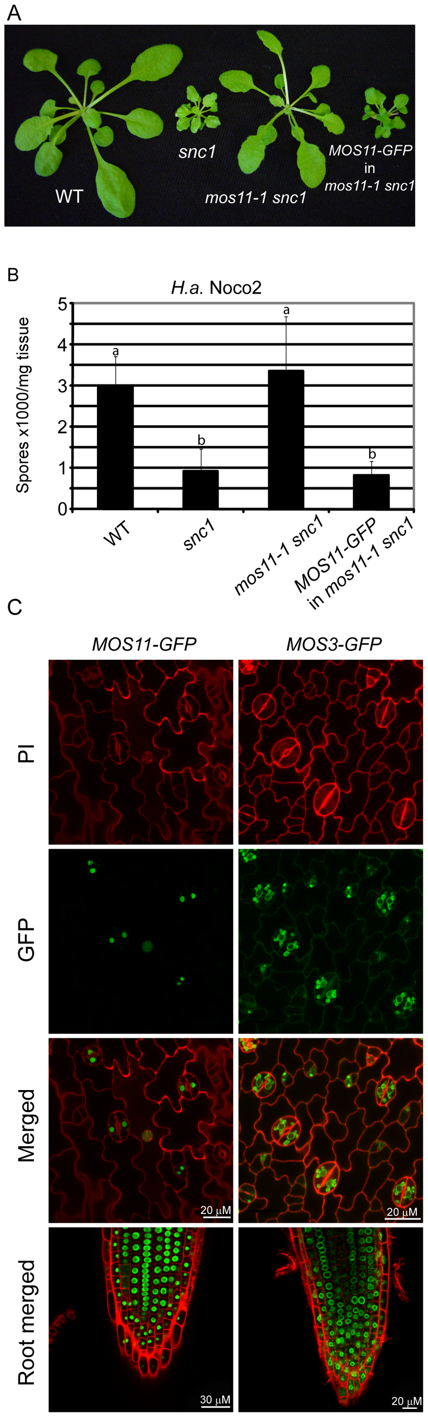 MOS11-GFP is localized to the nucleus.