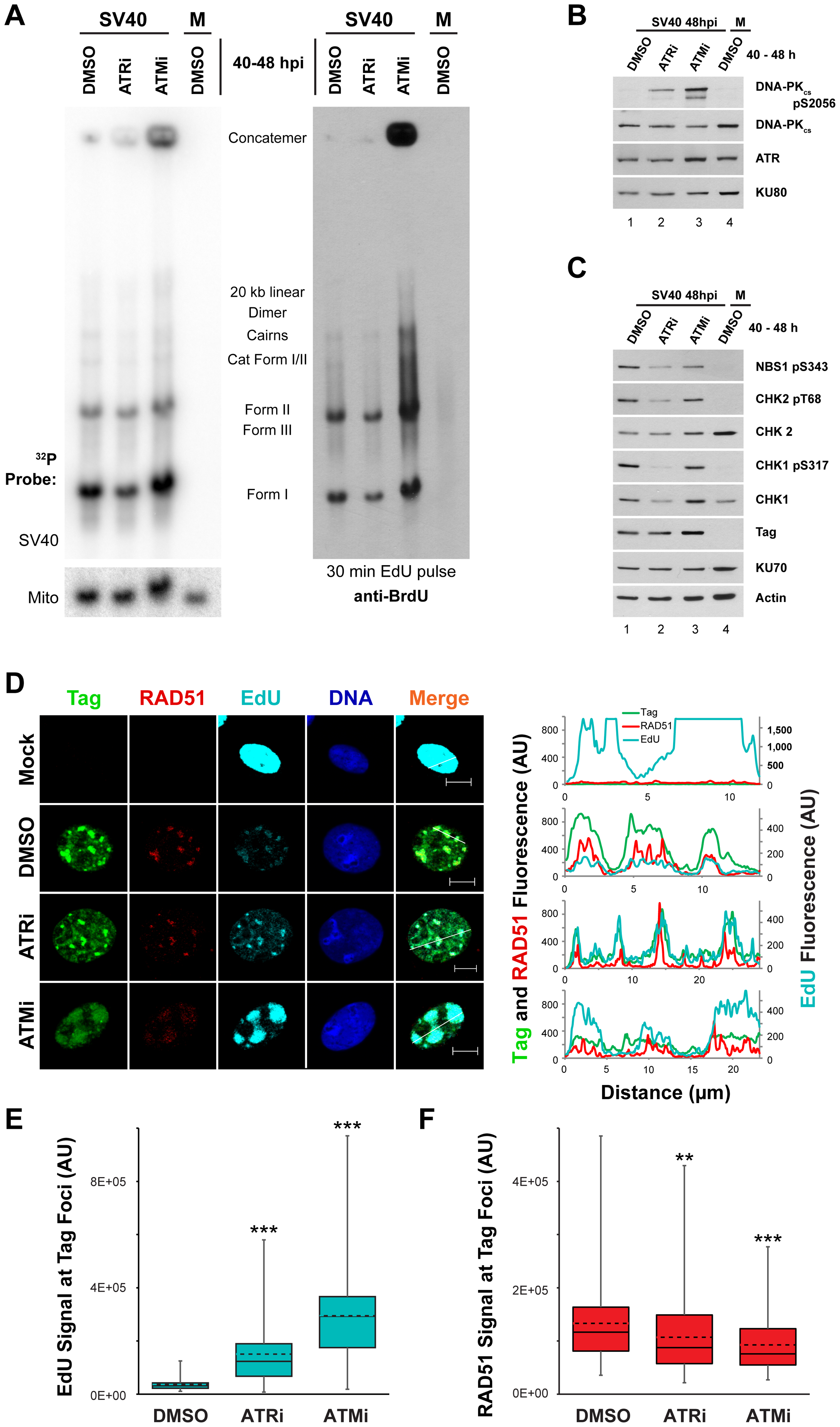 ATM or ATR inhibition does not affect incorporation of nucleotides into SV40 DNA.