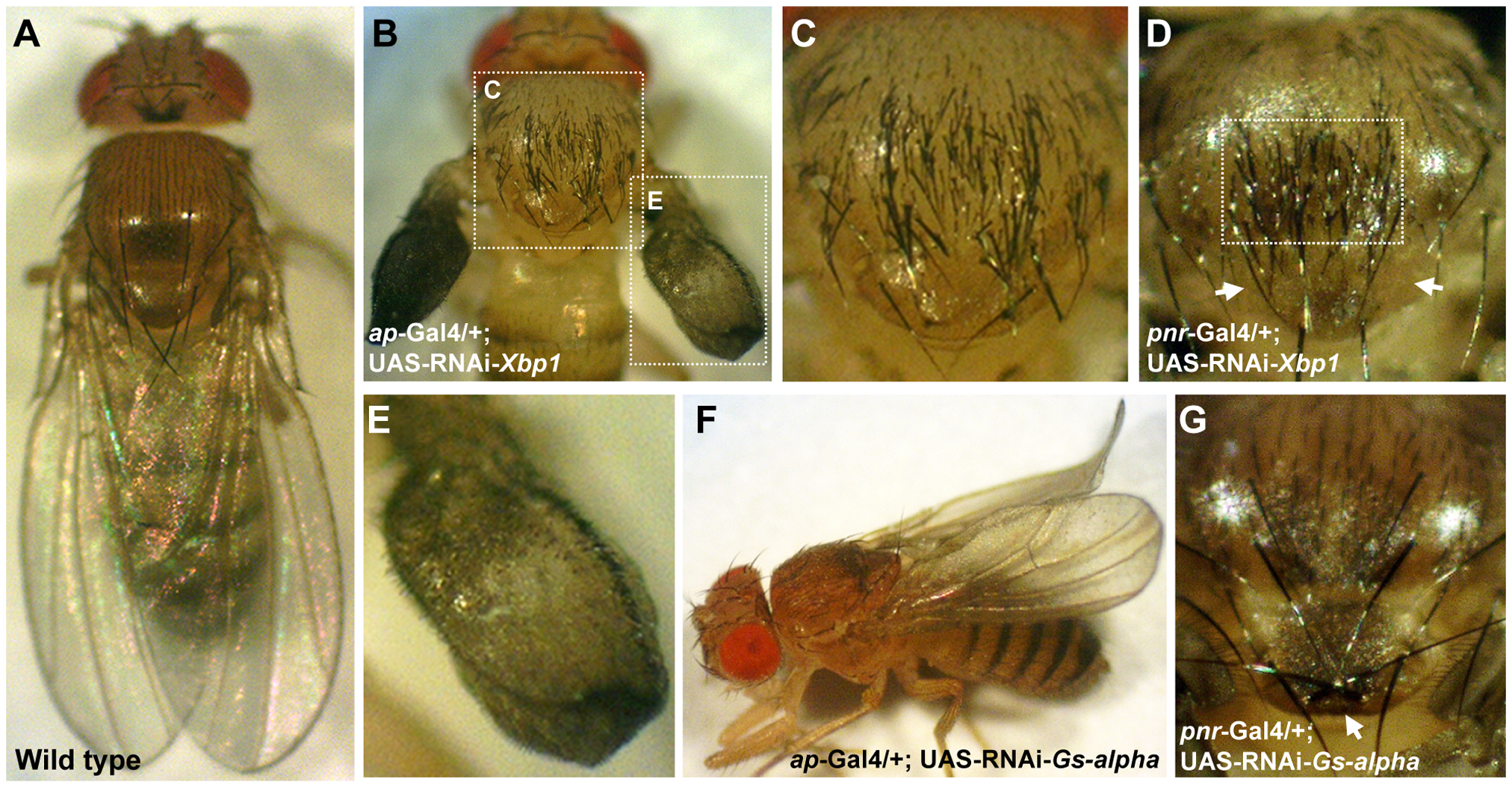 <i>Gs-alpha60A</i> and <i>Xbp1</i> are essential for normal wing and bristle formation.