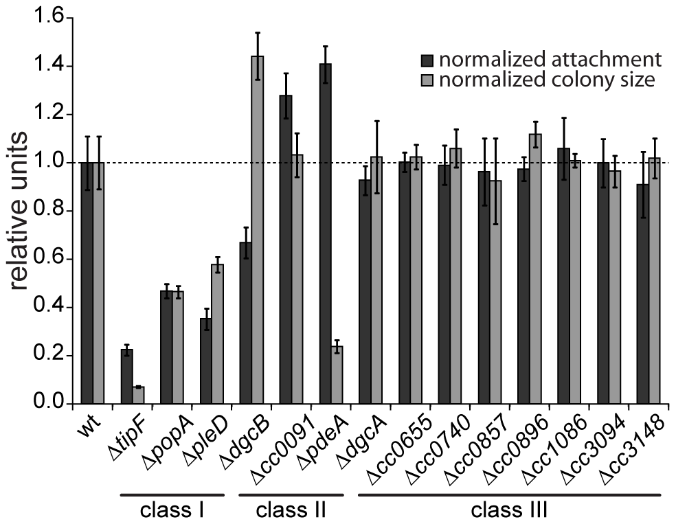 Motility and attachment behavior of <i>C. crescentus</i> is modulated by several GGDEF- and EAL-domain proteins.