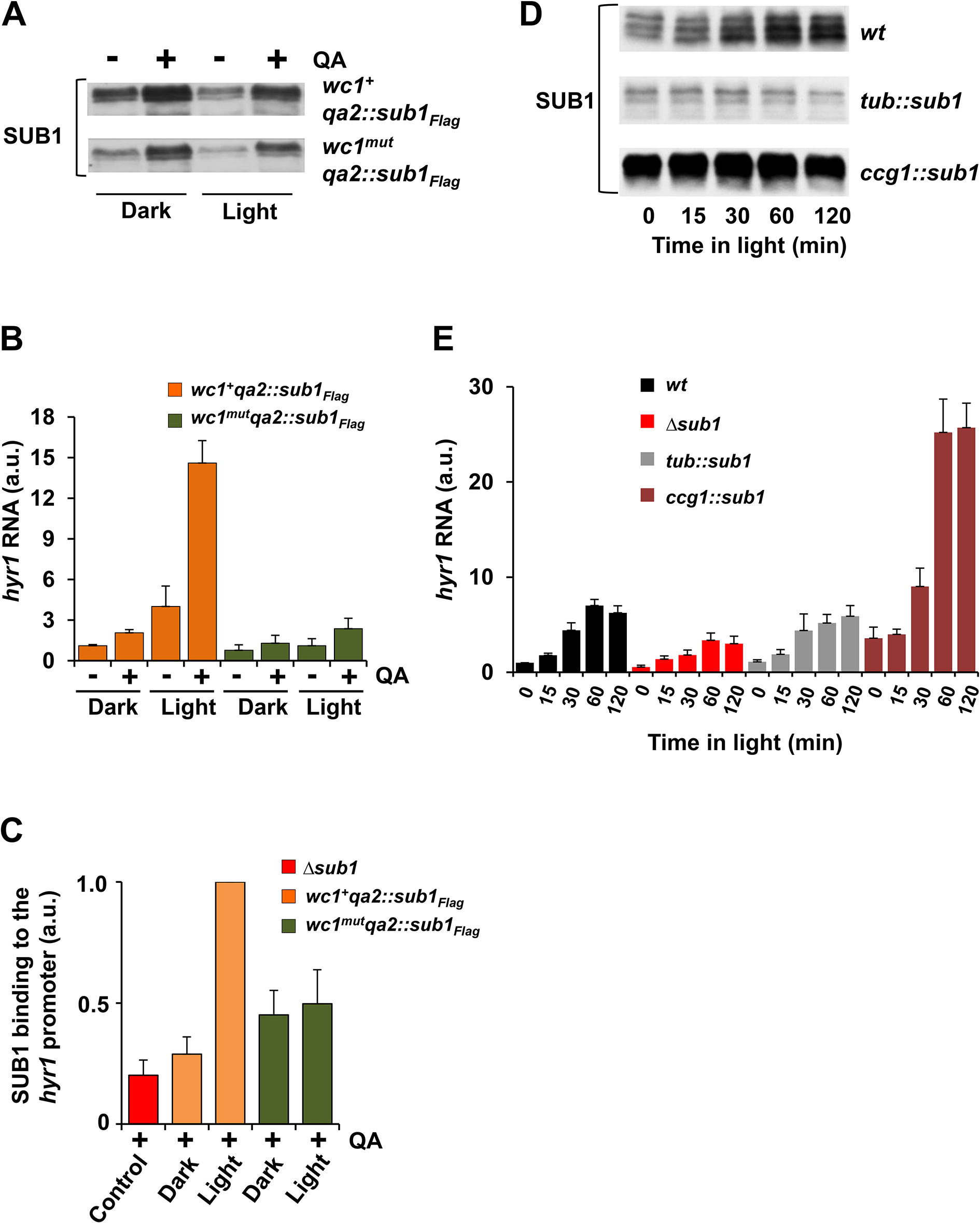 SUB1 requires light-activated WCC to induce <i>hyr1</i> gene expression.