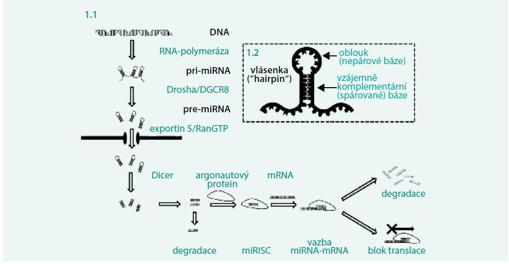 Obr. 1.1 a obr 1.2. Biogeneze a funkce mikroRNA