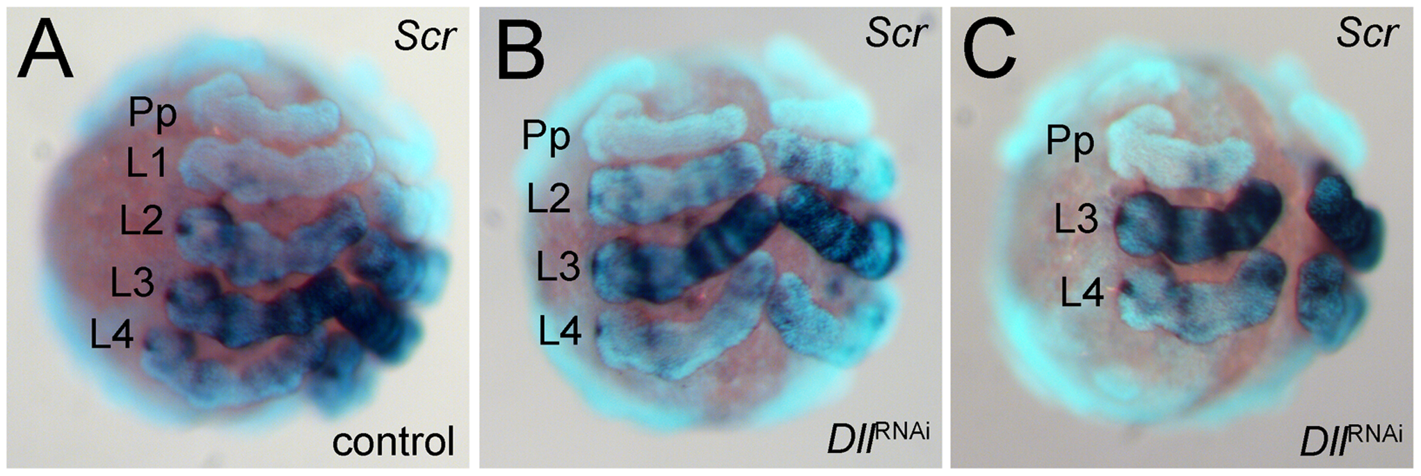 Expression of <i>Scr</i> in <i>At-Dll</i> RNAi embryos.