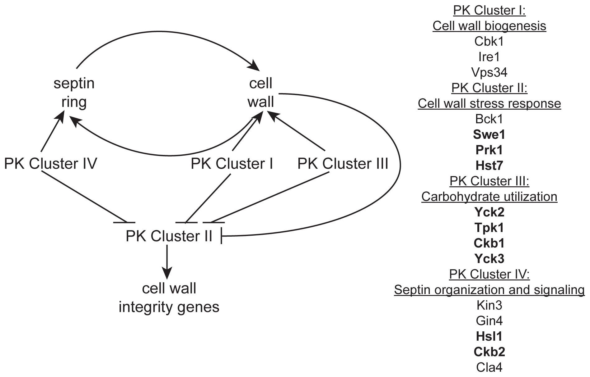 A model of the role of PKs in septin morphology and cell wall biogenesis.