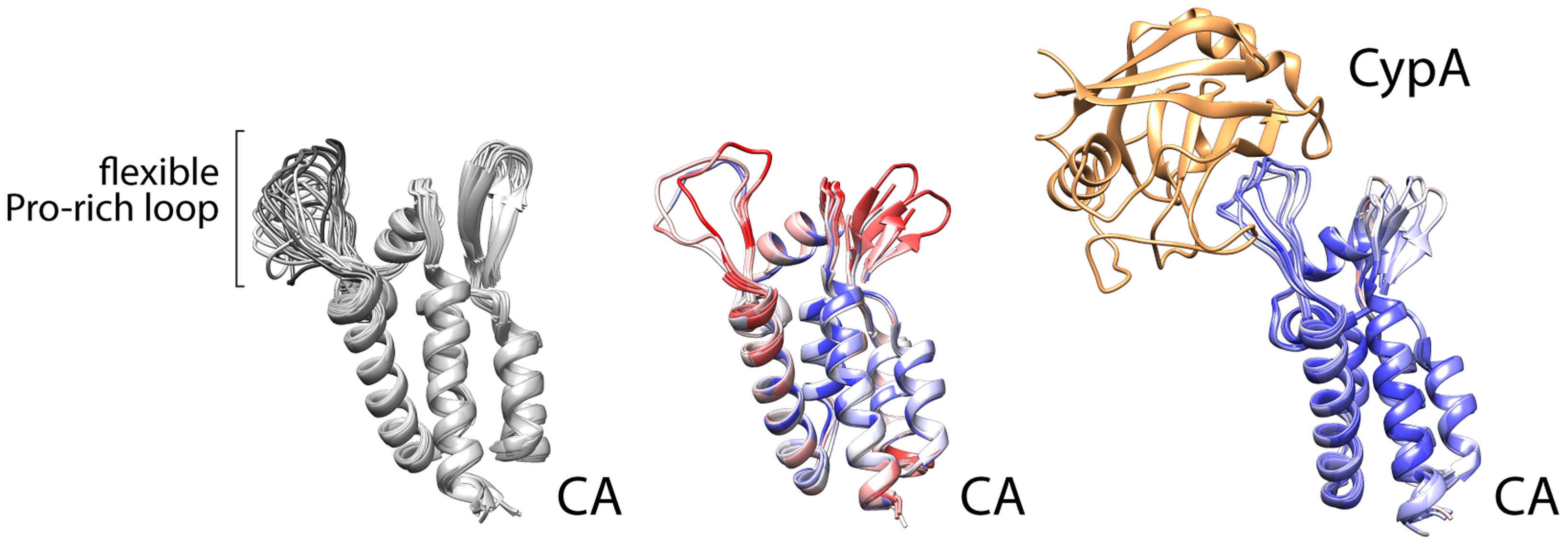Cyclophilin A binds a flexible loop in the HIV CA, containing glycine 89 and proline 90 and flanked by prolines.