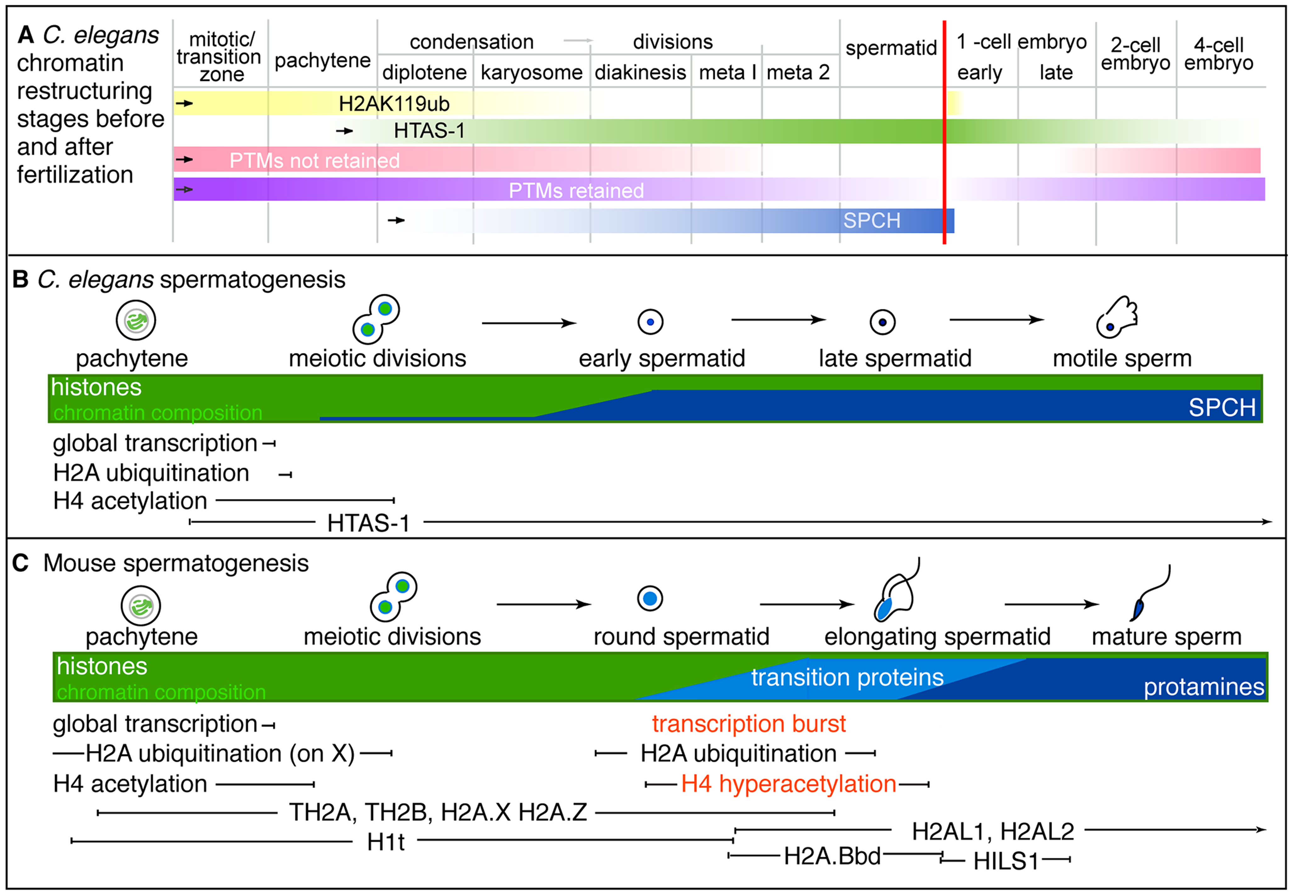 Summary of stages of chromatin remodeling events in <i>C. elegans</i> during spermatogenesis and post-fertilization.