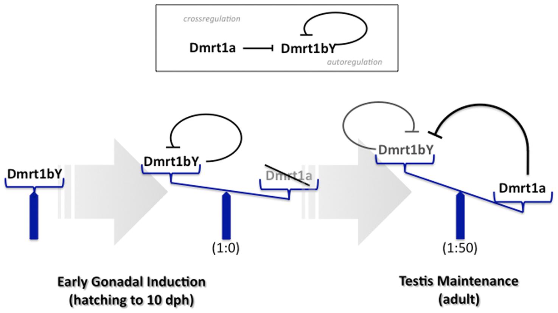 Model for feedback and cross-regulation of the medaka dmrt1 paralogs.