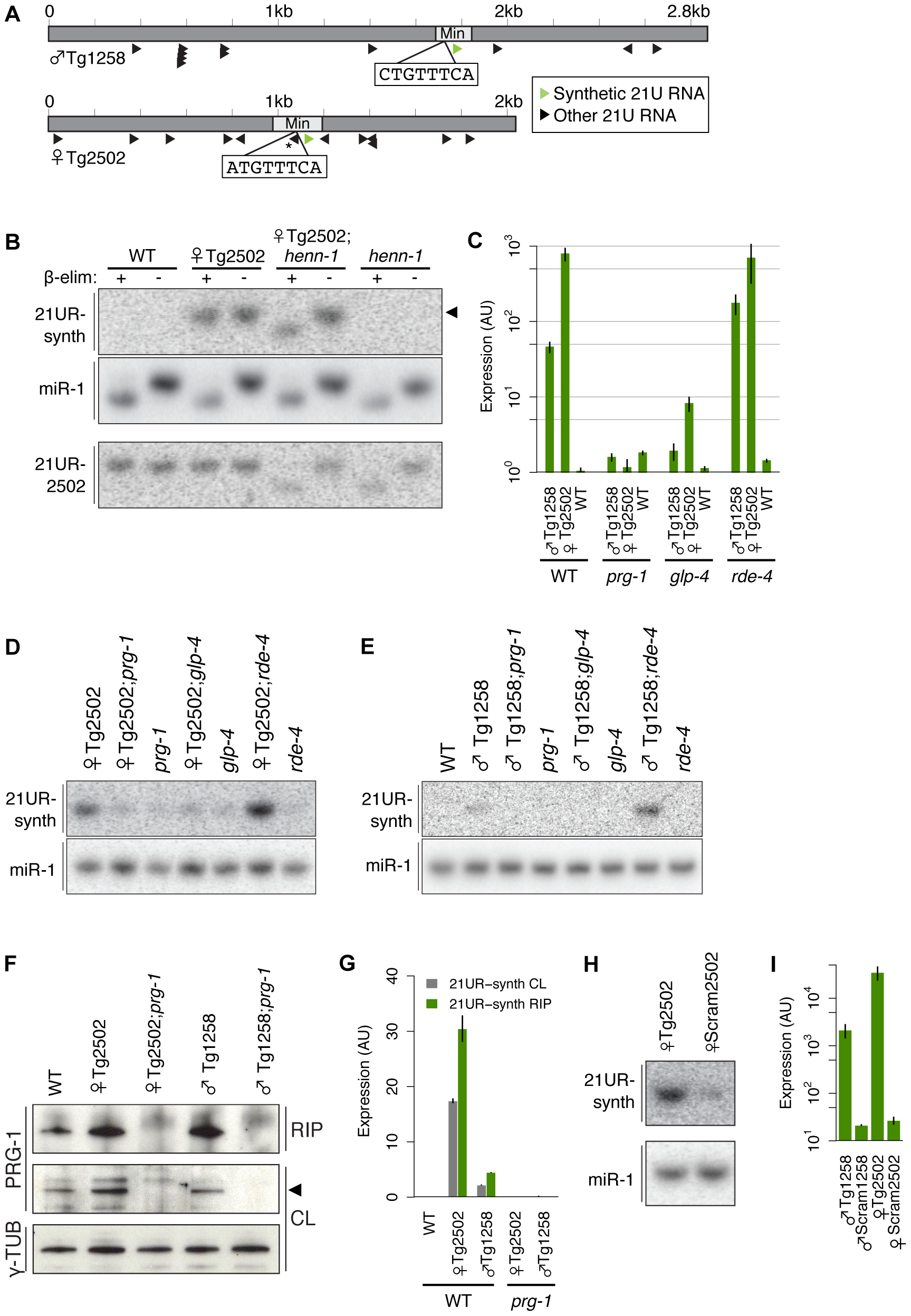 A transgenic synthetic 21U RNA shows characteristics of endogenous 21U RNAs.