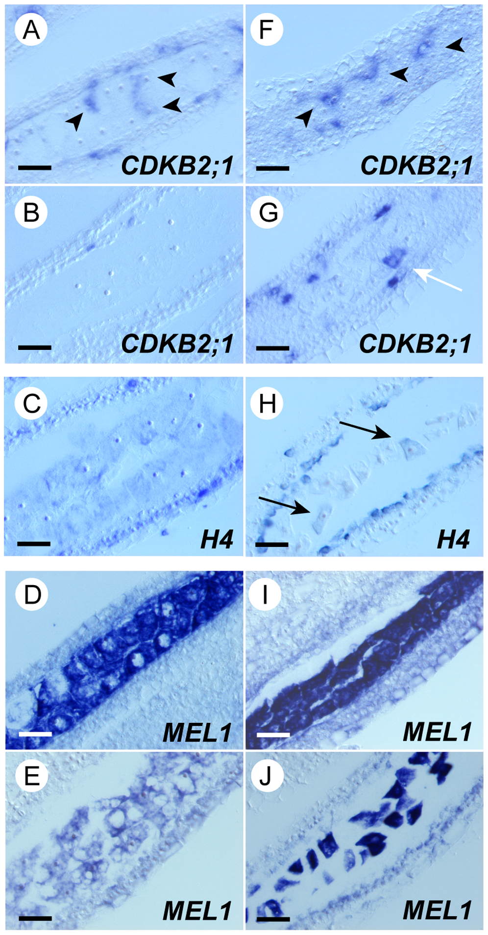 Synchronous initiation of premeiotic S was disrupted among <i>mel2</i> germ cells.
