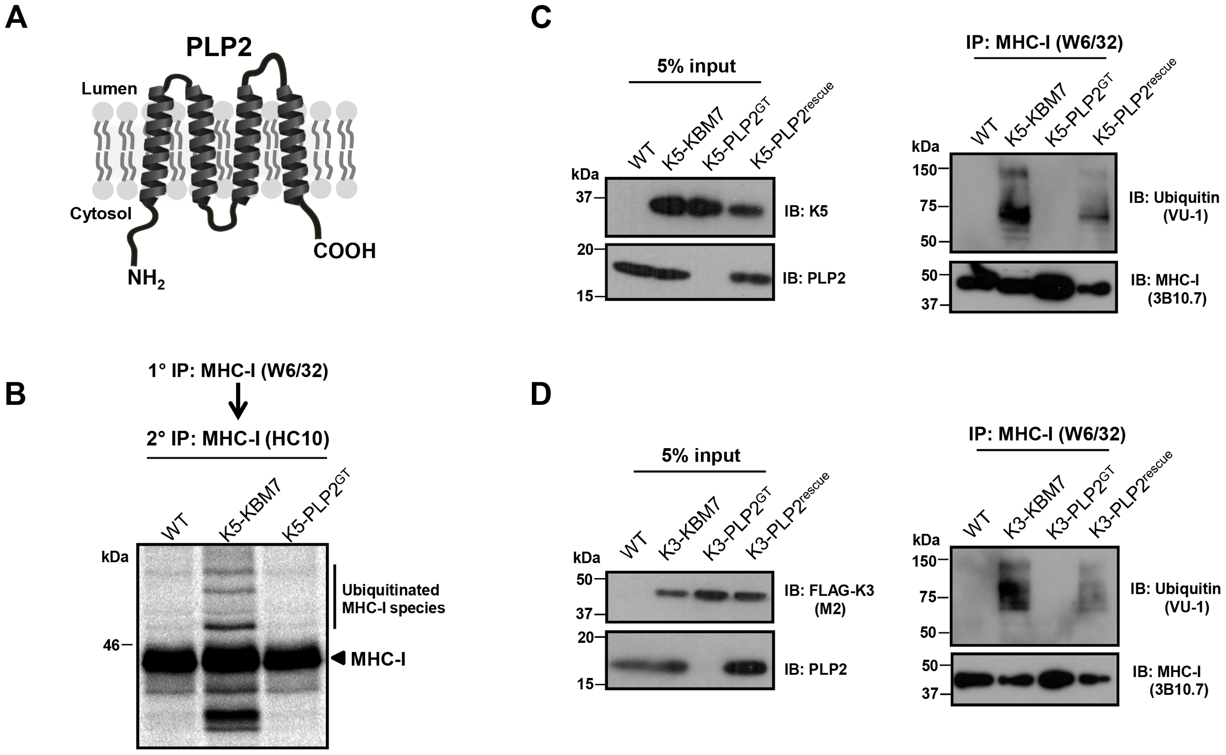 PLP2 is required for K3 and K5 to ubiquitinate their substrate MHC-I.