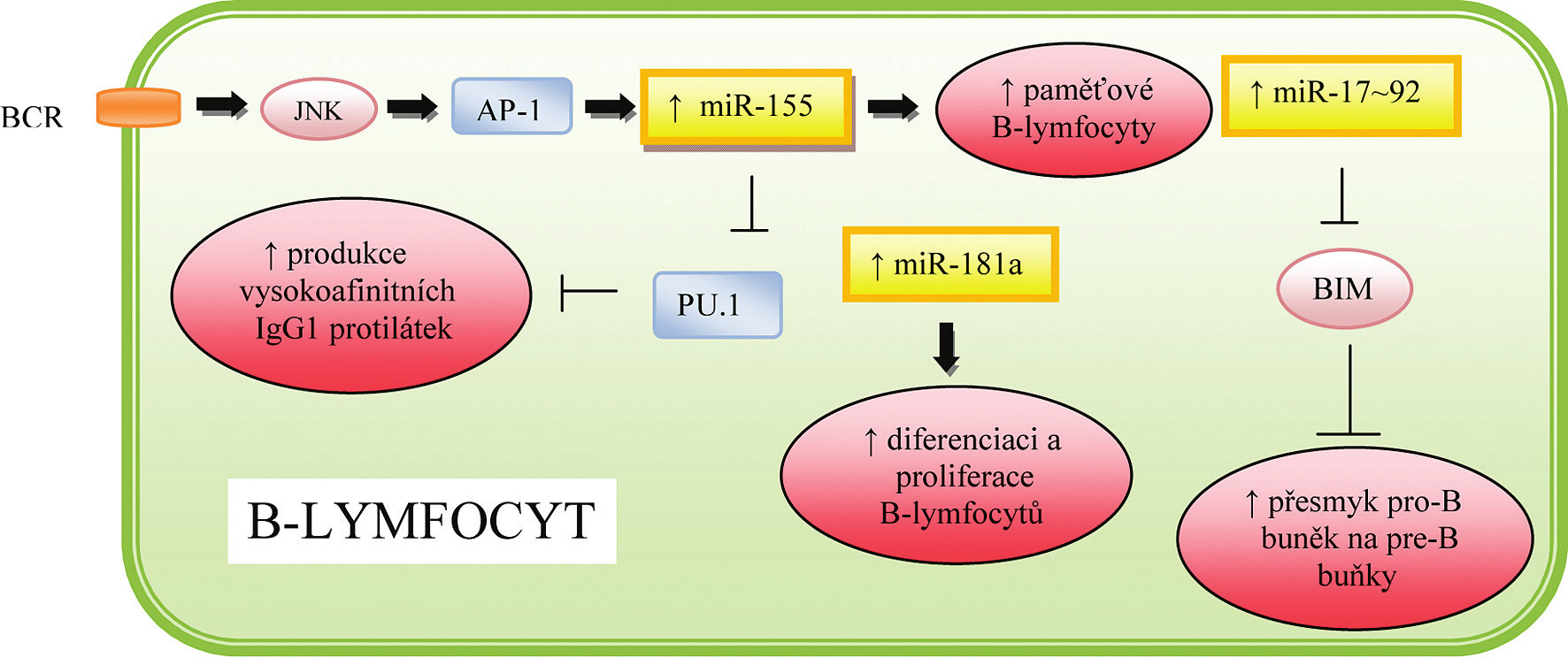 Role miRNA v regulaci hematopoézy a imunitní odpovědi B-lymfocytů