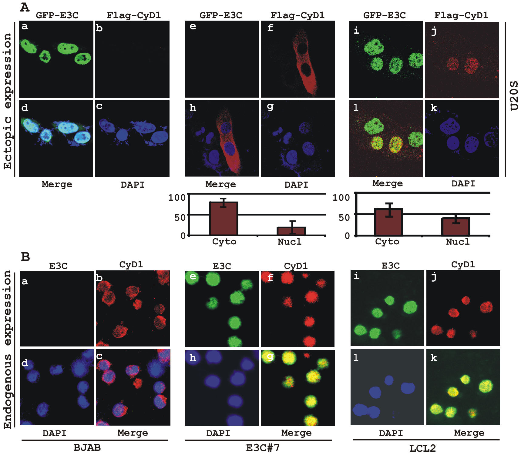 EBNA3C expression leads to an increase in nuclear retention of Cyclin D1.