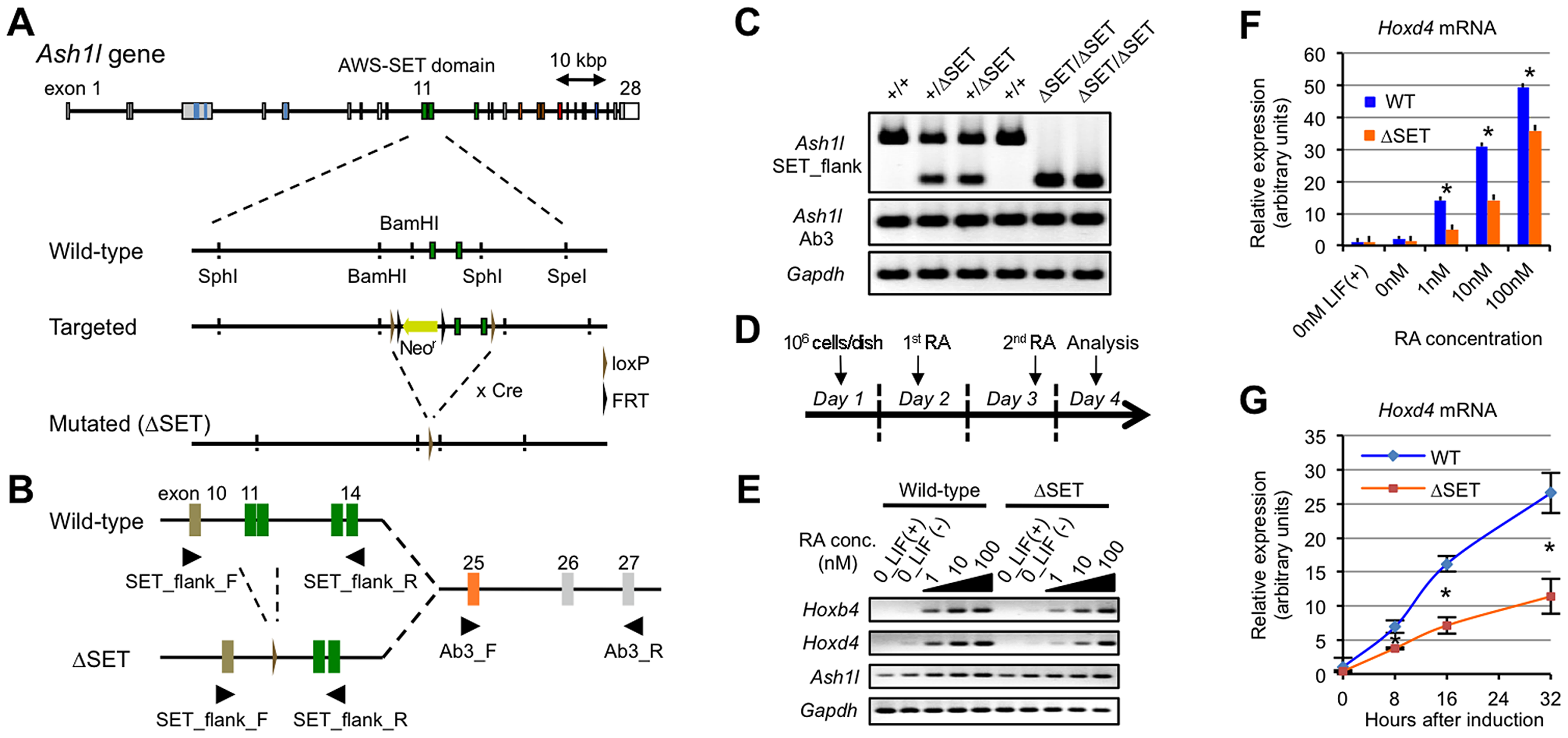 Basic characterization of Ash1l mutant ES cells and Hox gene expression in response to RA.